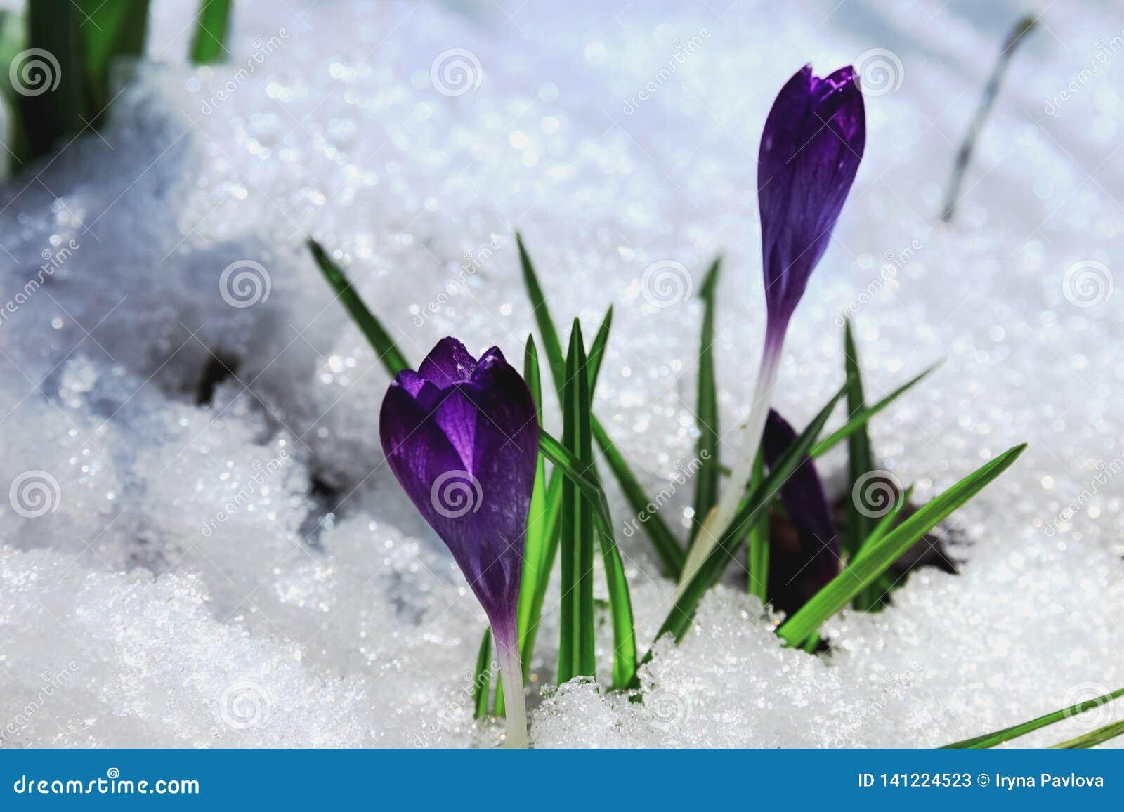 Nieve púrpura de la primavera