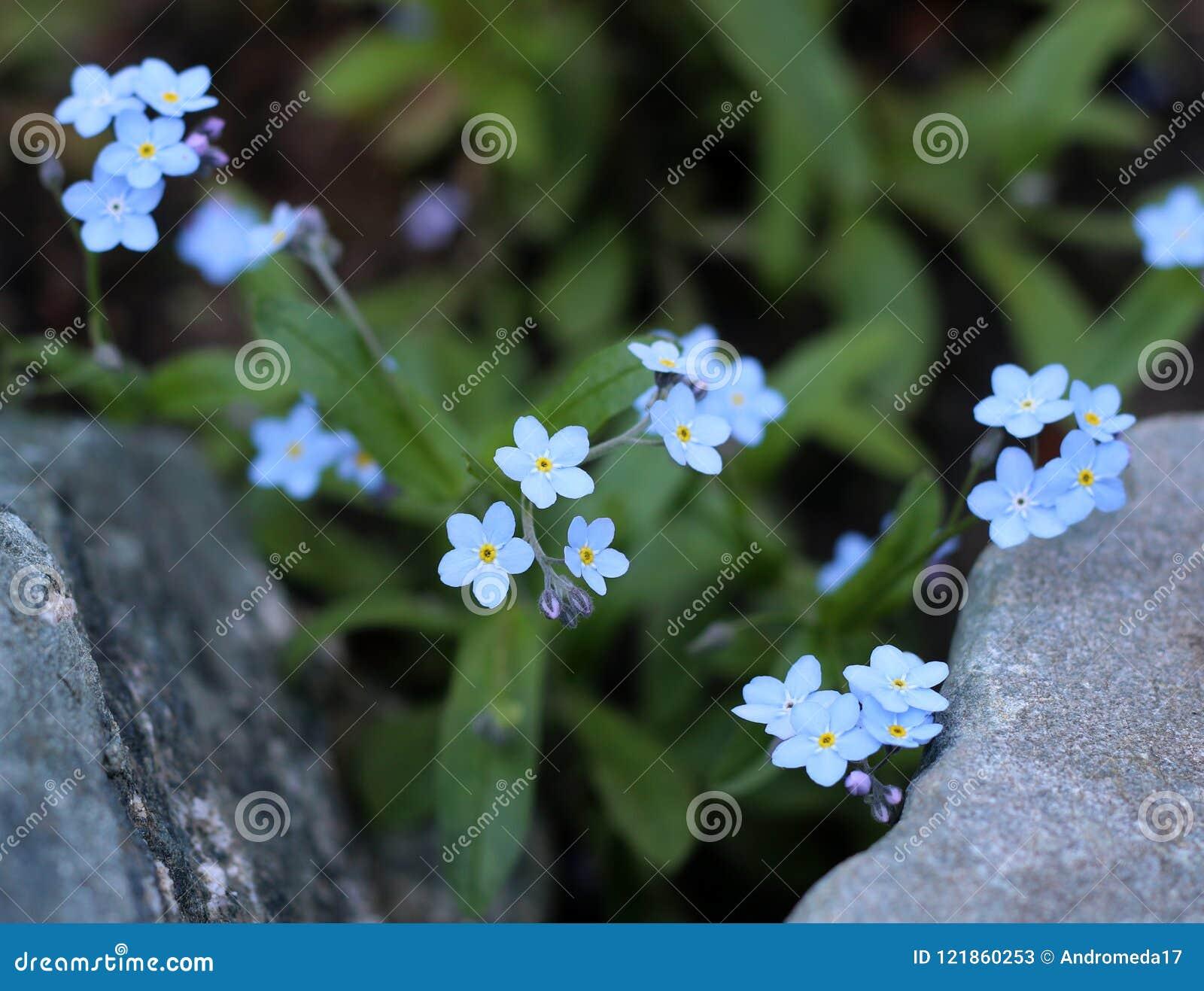 Niezapominajka kwiaty, zakończenie - w górę widoku