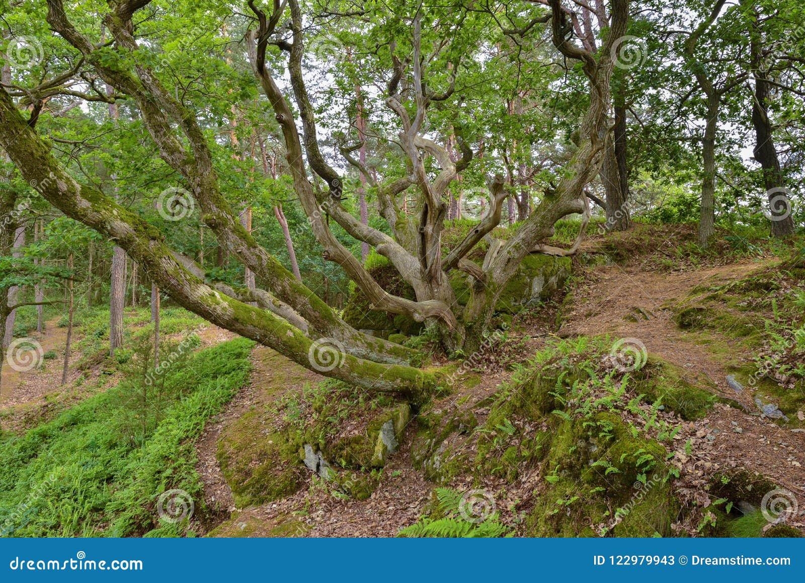 Niezwykły kilkuramienny drzewo
