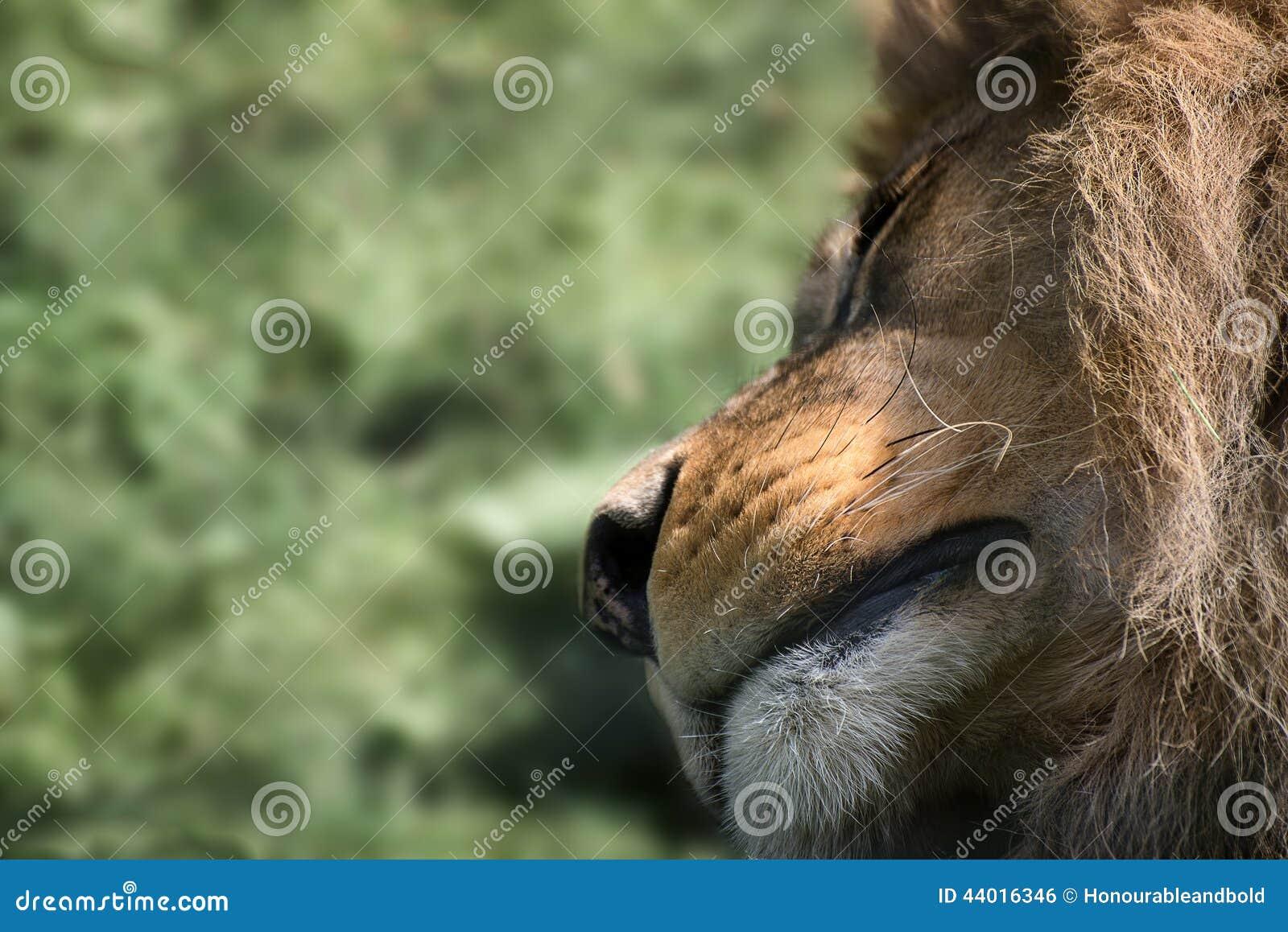 Niezwykły twarzowy portret spać Barbary atlanta Afrykańskiego lwa