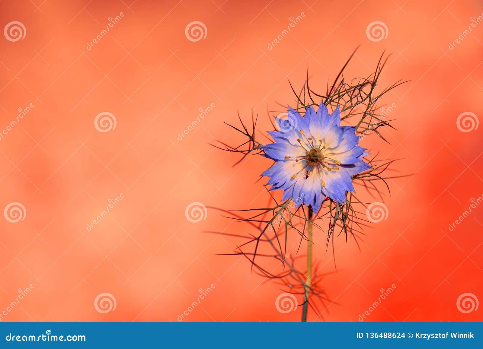 Nigella damascena is a rare flower grown in a home garden
