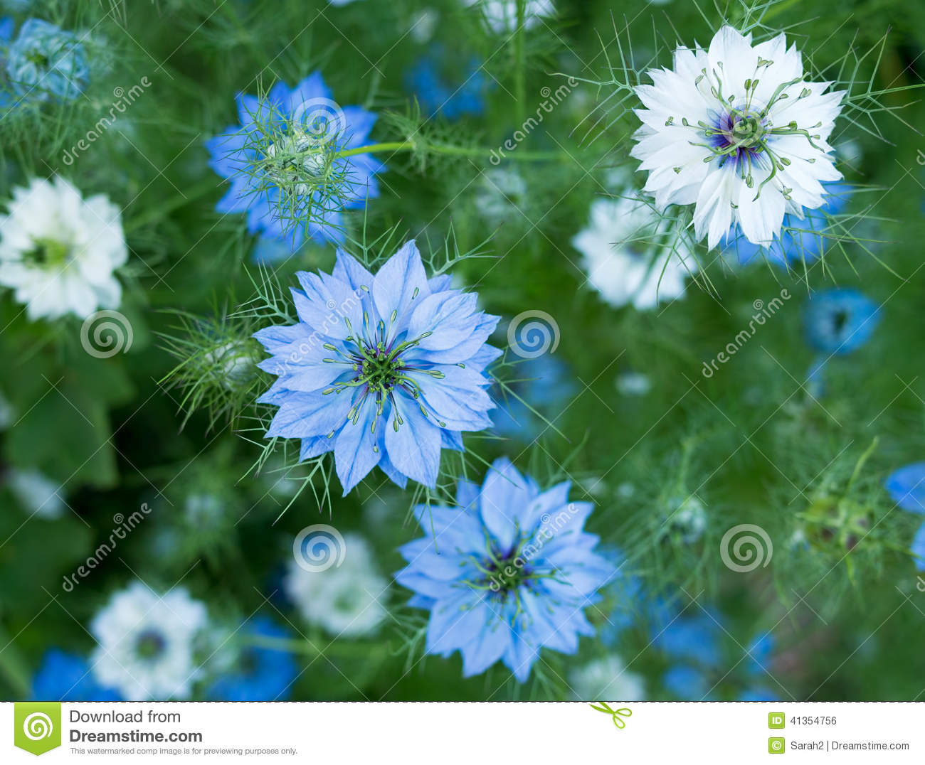 Nigella Plant Info: Learn About The Care Of Love In A Mist ...