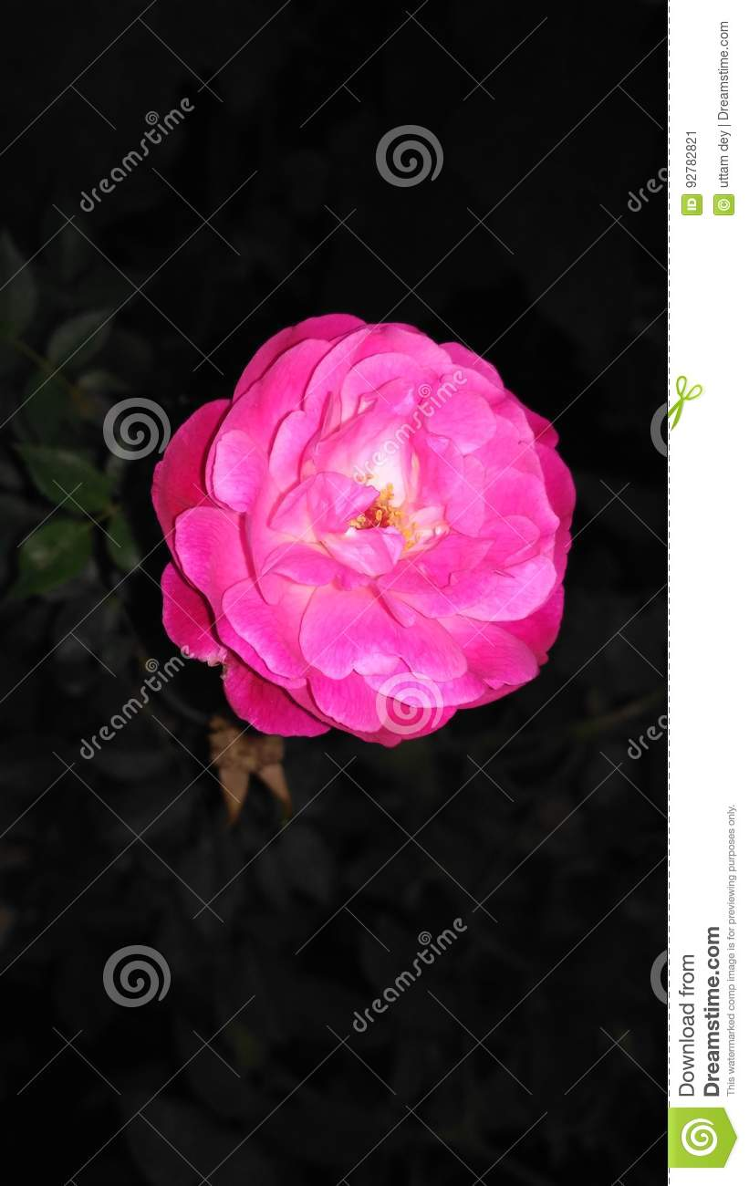 Night beauty pink rose stock image image of beautiful 92782821 night beauty pink rose izmirmasajfo