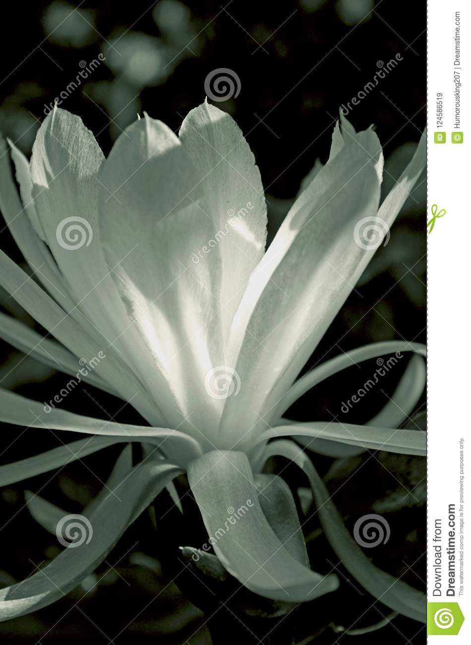 Night Blooming Cereus Stock Image Image Of Princess 124586519