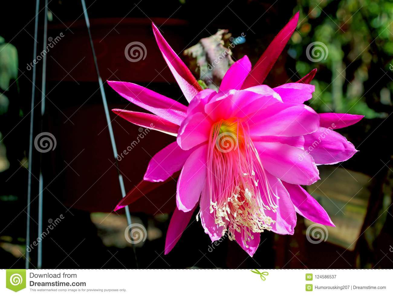 Pink flowers of the Night-blooming cereus