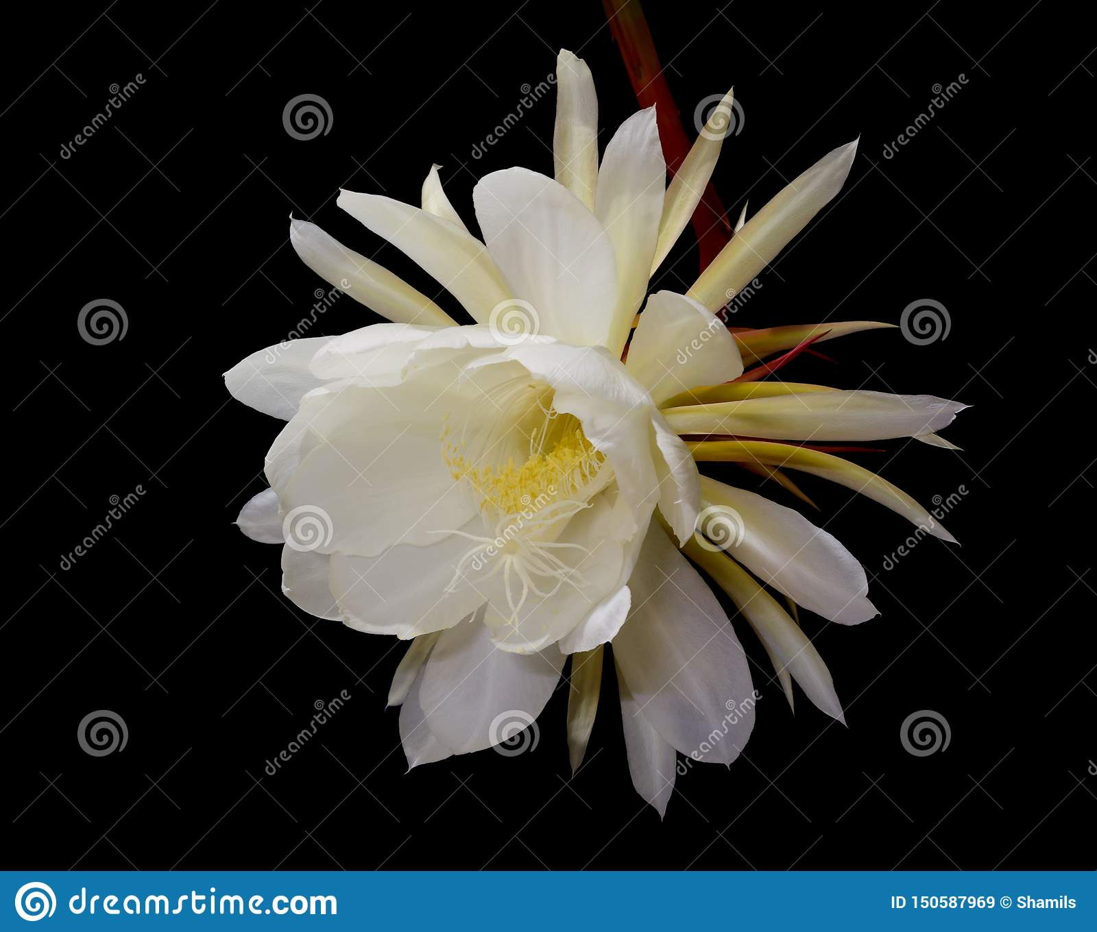 Night Blooming Cereus Princess Of The Night Flower Stock Image