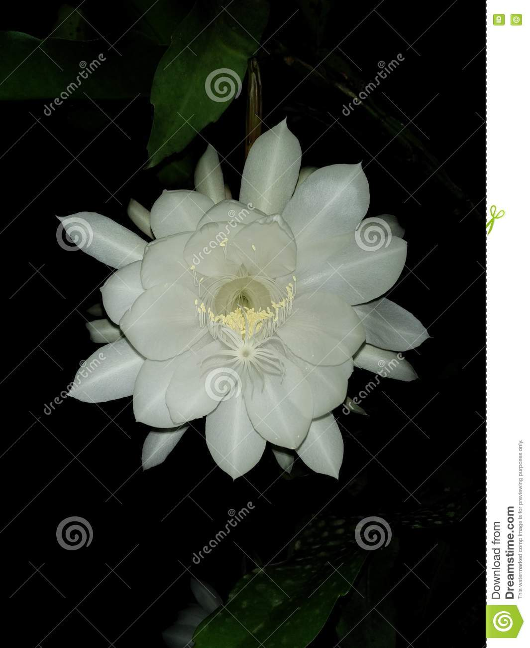 Night blooming jasmine flower stock image image of flower single night blooming jasmine flower izmirmasajfo