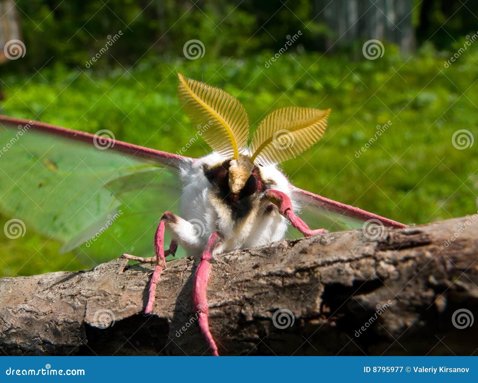 night butterfly  actias artemis  11 royalty free stock