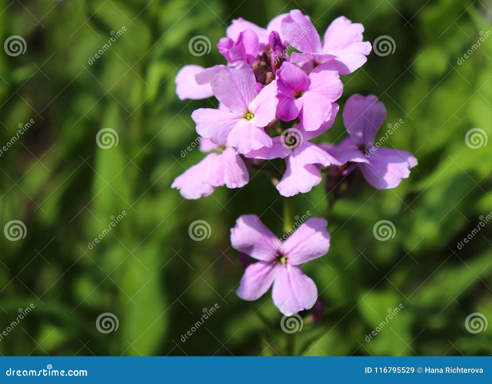 Night violets. Mattiola flower - photo 24