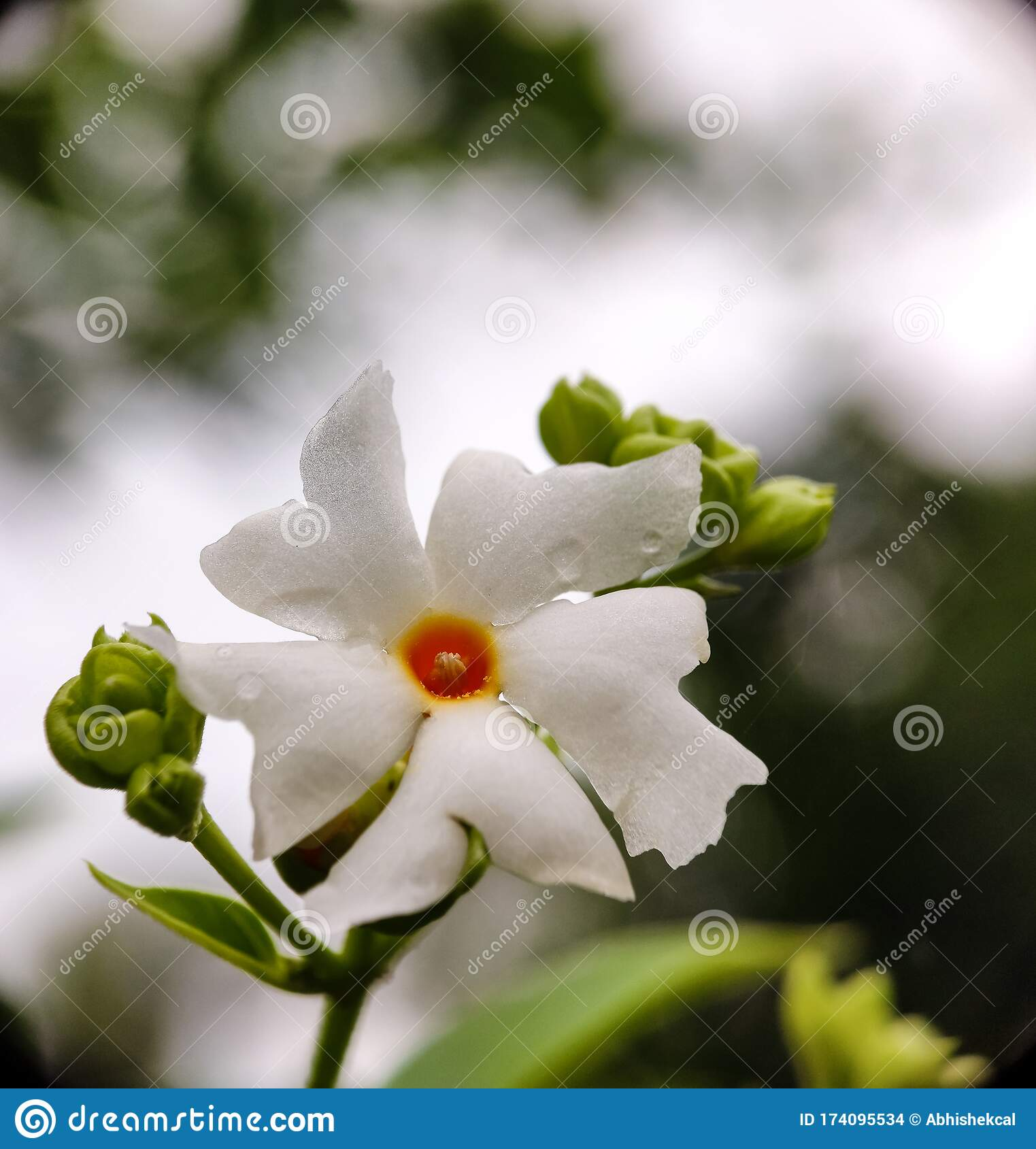 Night Jasmine Flower In Bright Light Stock Photo Image Of Autumn Project 174095534