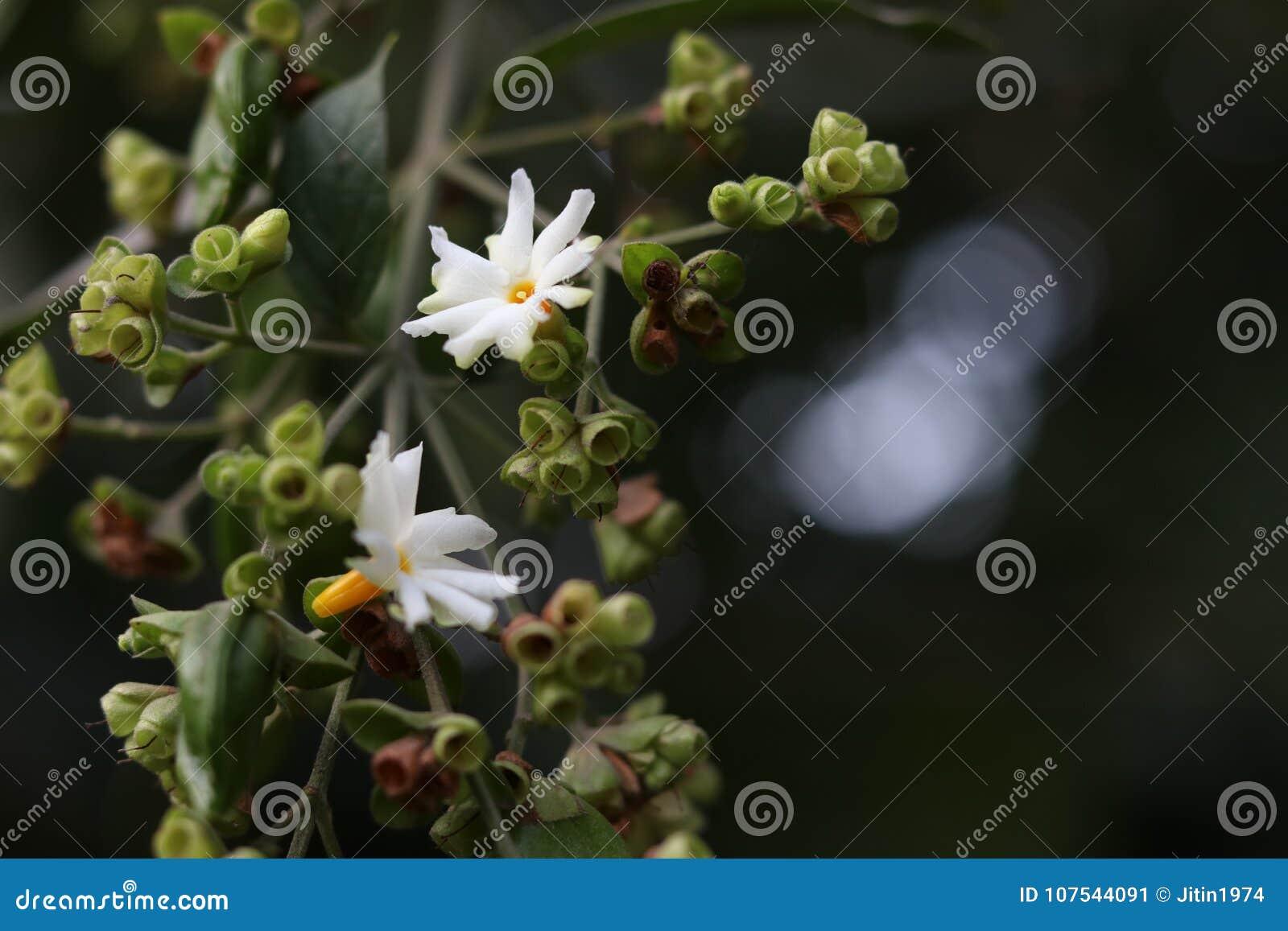Night Jasmineflowerharsingarlime Greenyellow Stock Image