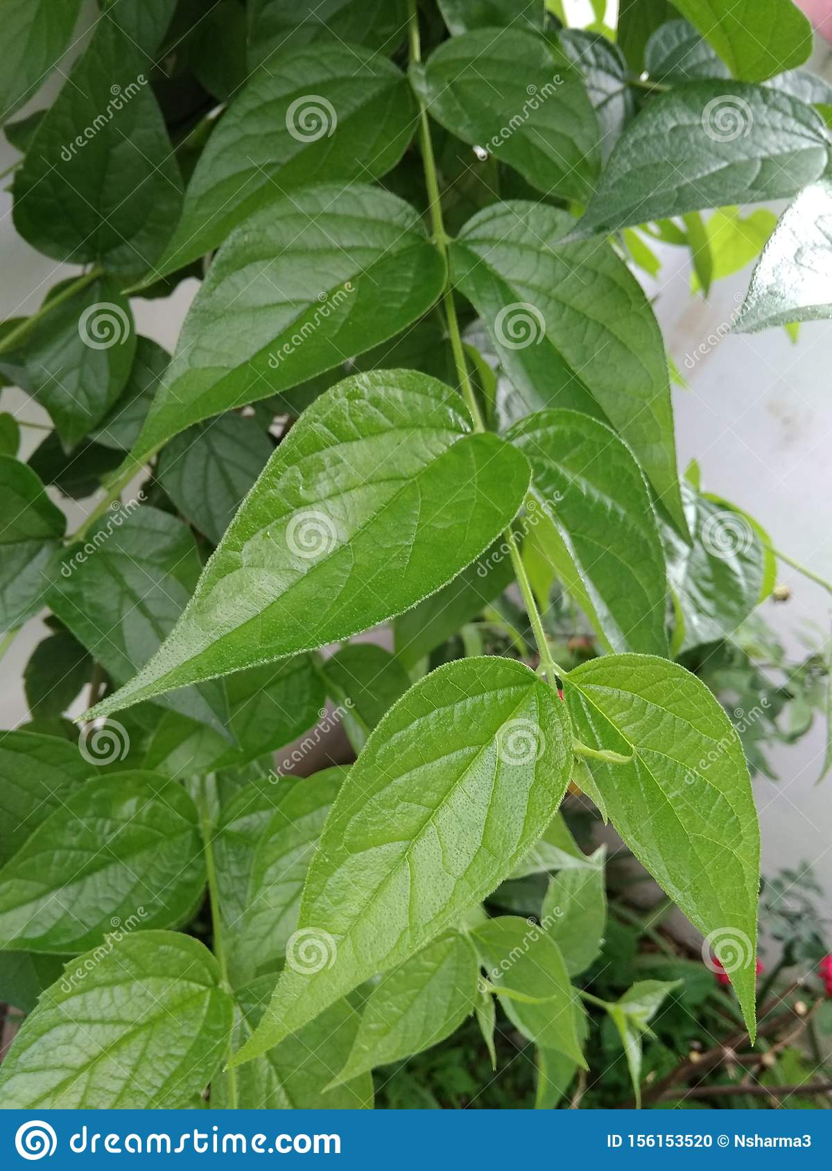 Night Jasmine Flower Plant With Fresh Green Leaves In The Garden Stock Photo Image Of Jasmine Garden 156153520