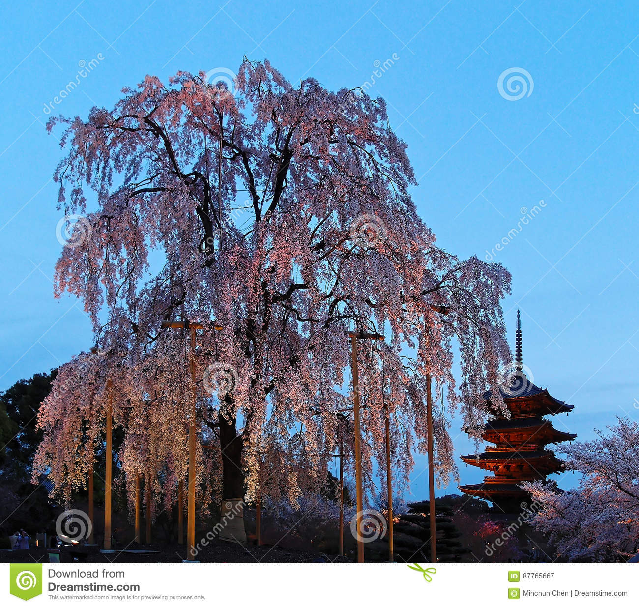 Night view of the famous Five-Story Pagoda of Toji Temple and blossoms of a giant sakura tree in Kyoto Japan