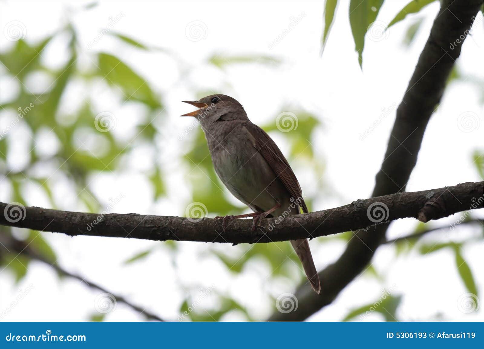 Download Nightingale. immagine stock. Immagine di foglio, prudente - 5306193