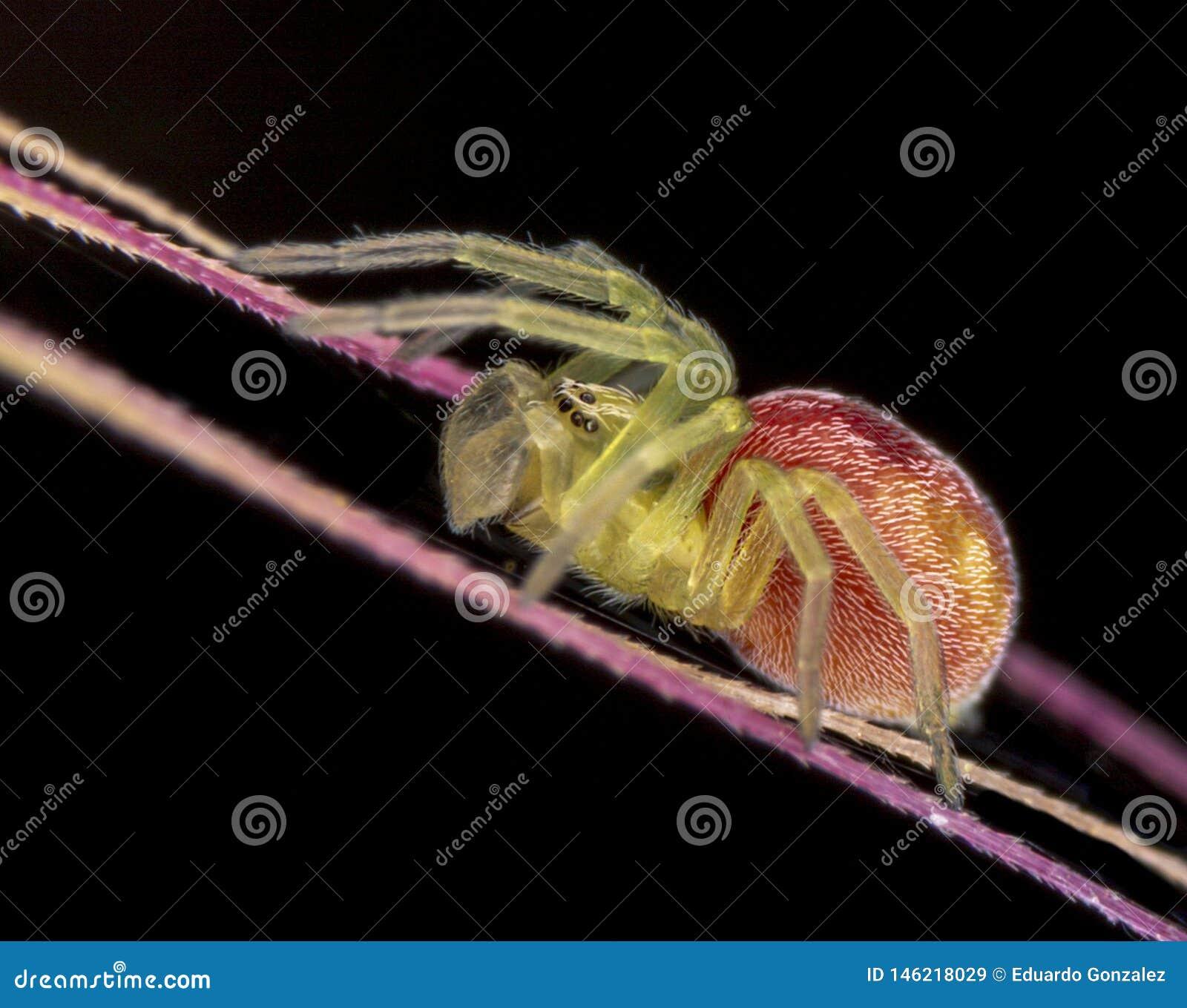 Nigma spider subadult male on black background
