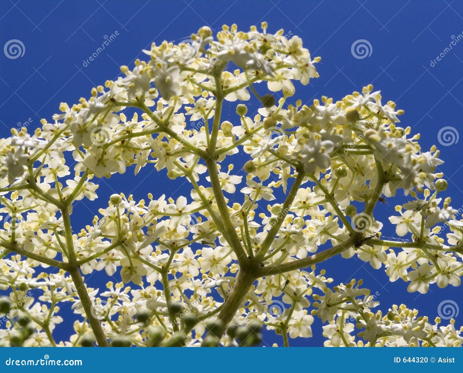 Nigra del Sambucus de Elderflower