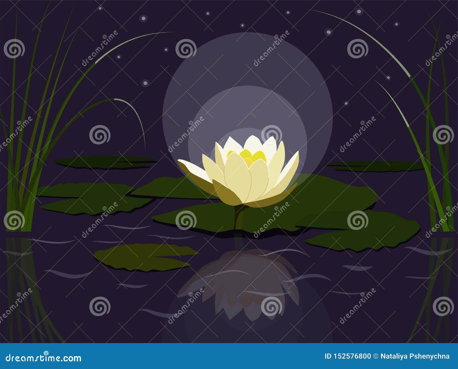 Nigth waterlily
