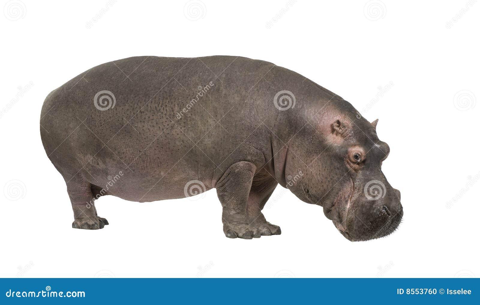 Nijlpaard - amphibius van het Nijlpaard (30 jaar)