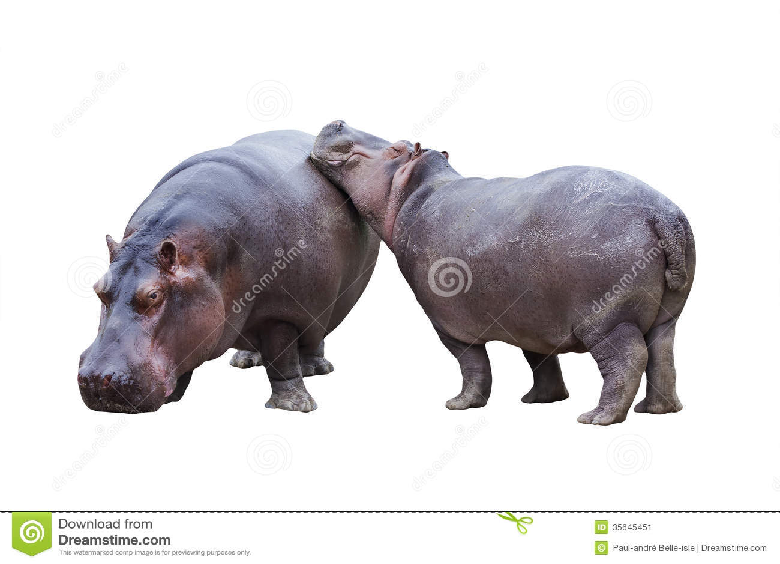 Nijlpaardpaar