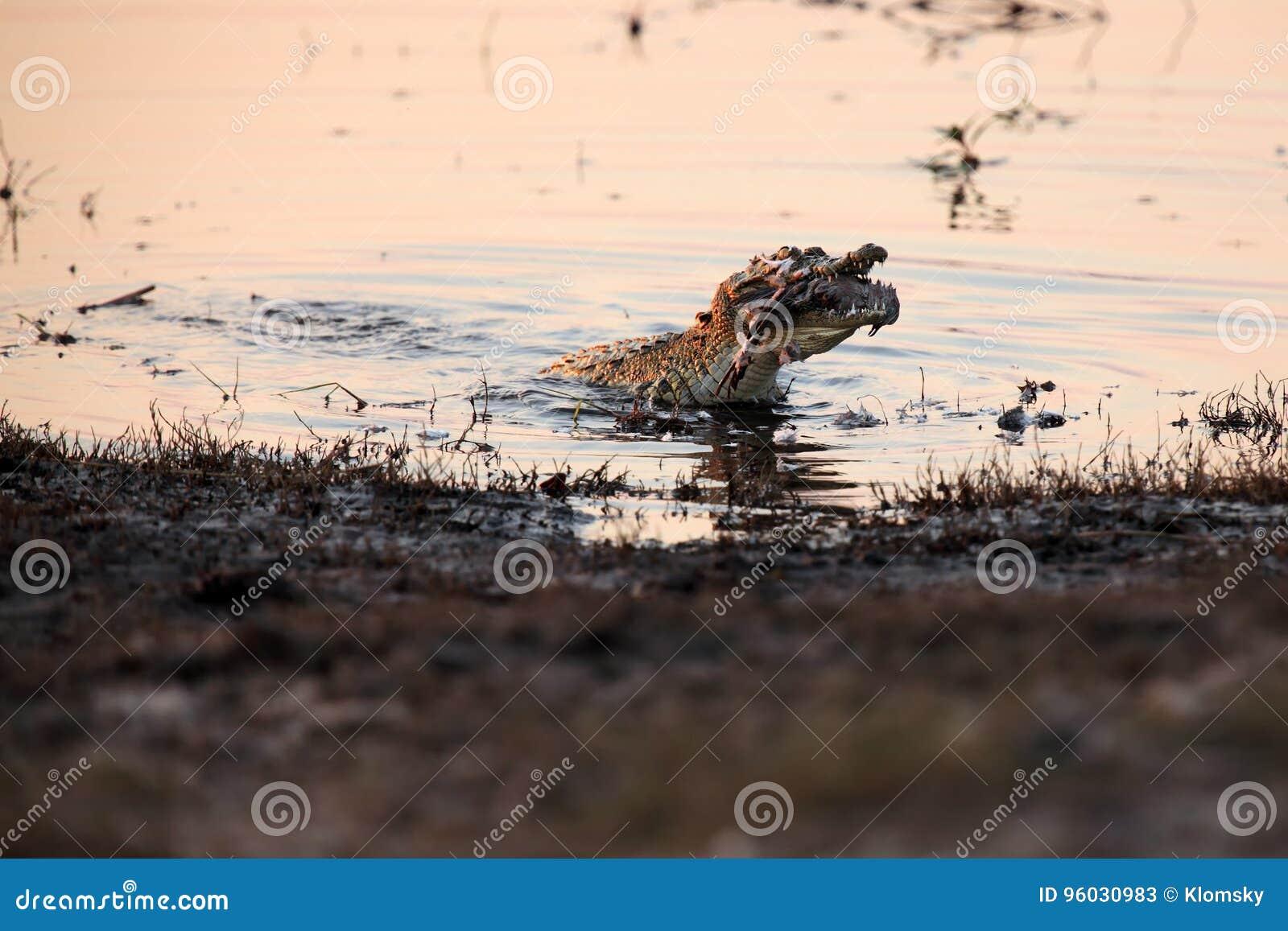 Nil krokodyl z zdobyczem