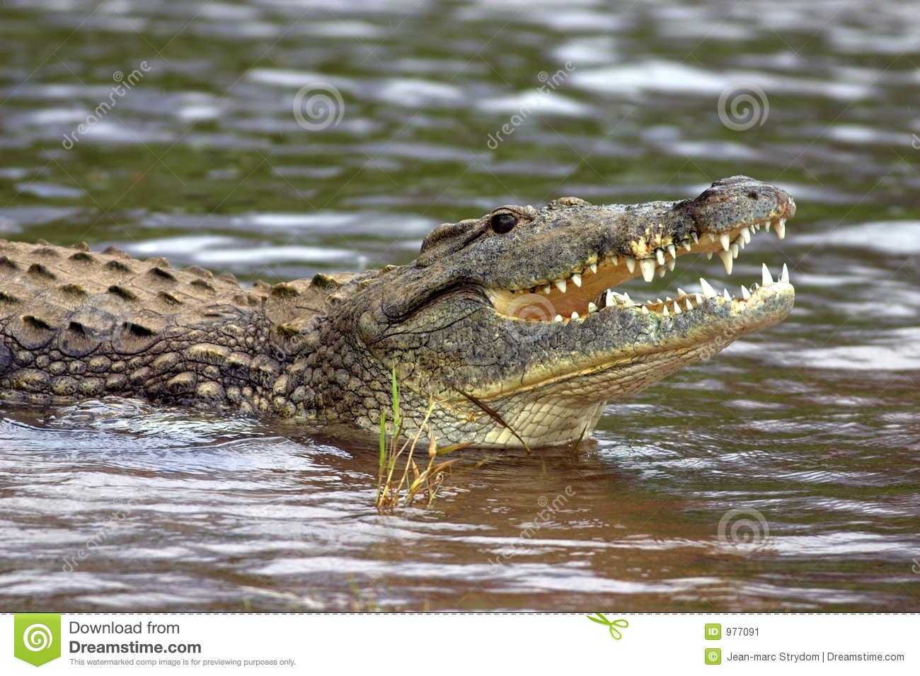 ... Crocodile in the Shingwedzi River, Kruger National Park, South Africa