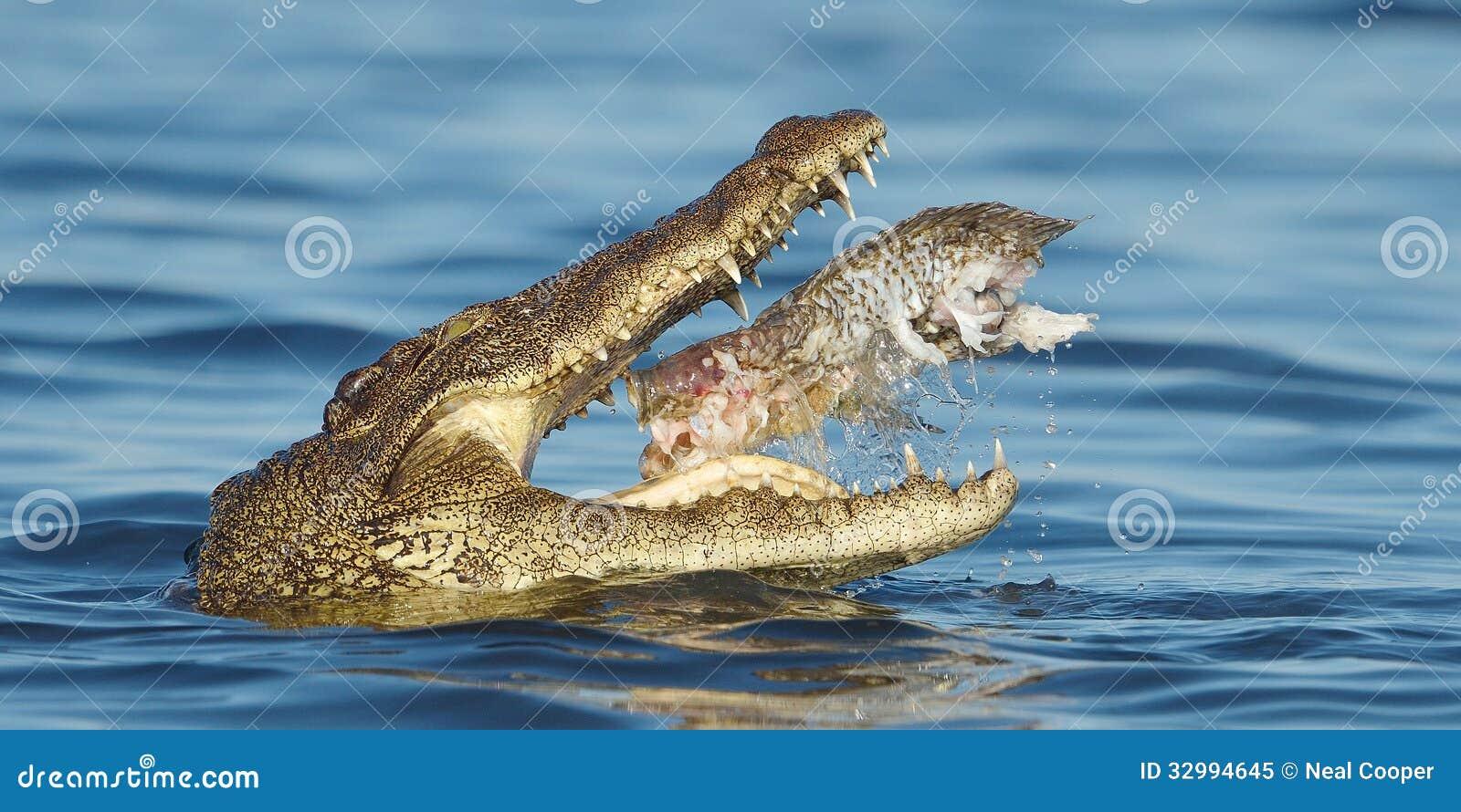 Nile Crocodile eating a fish