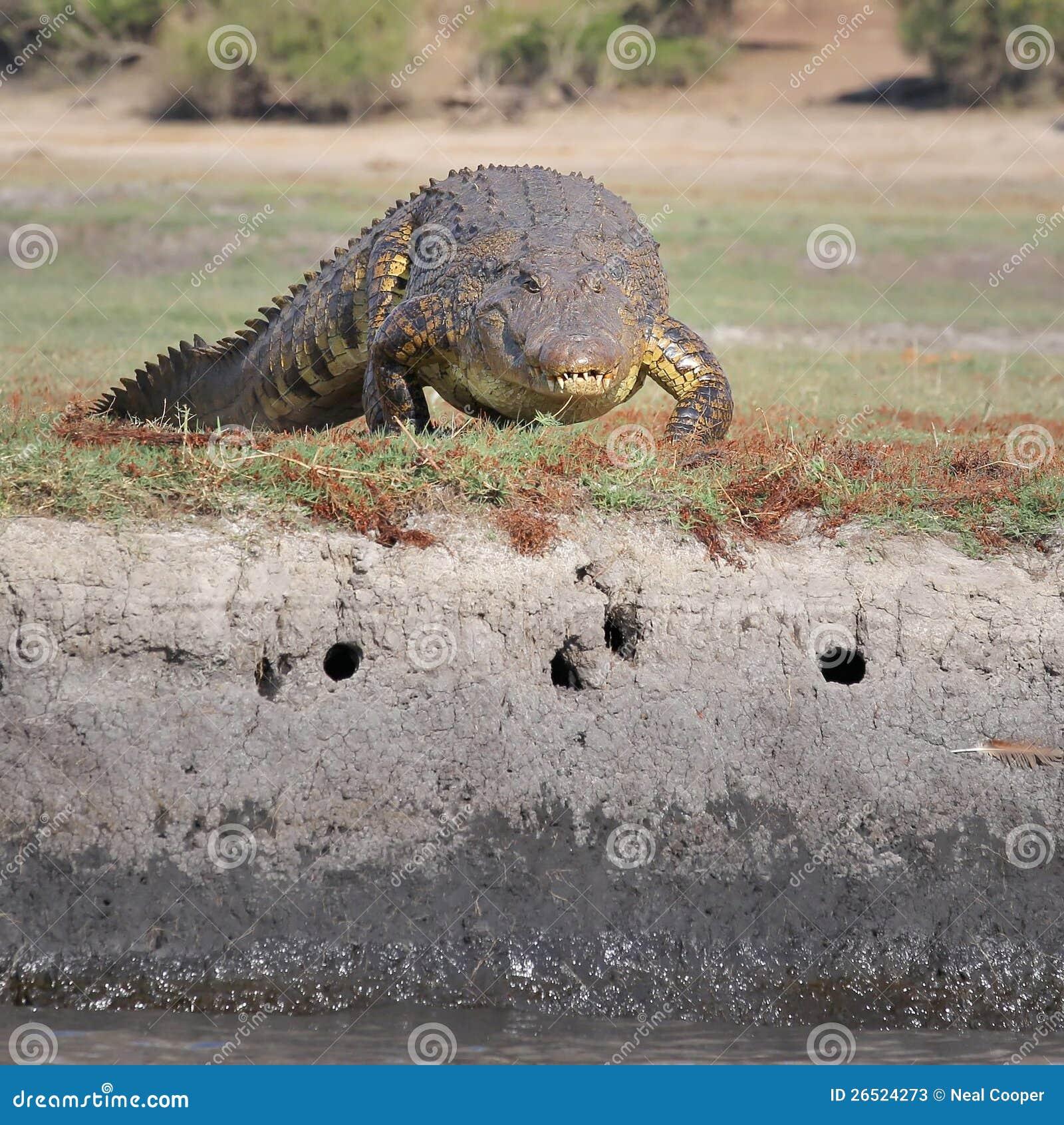 Nile Crocodile Lying On River Bank Stock Image