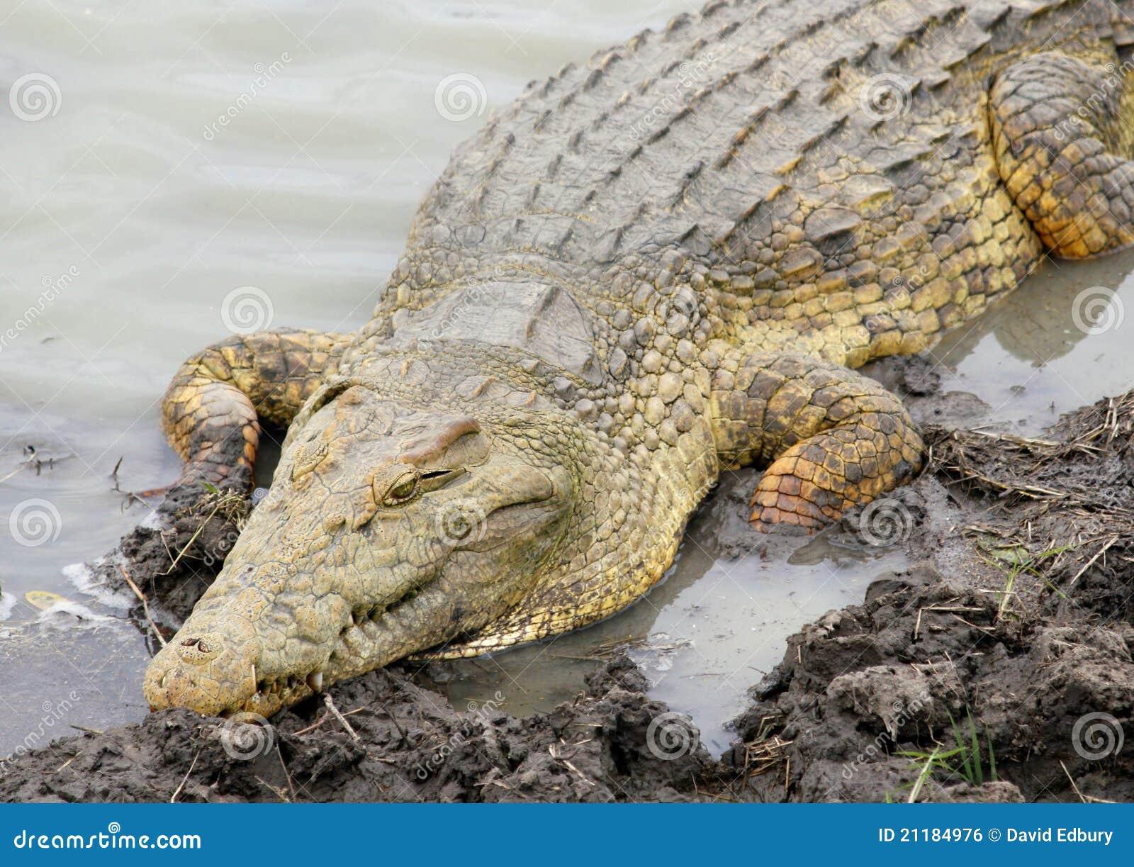 Nile Crocodile, Mikumi National Park, Tanzania