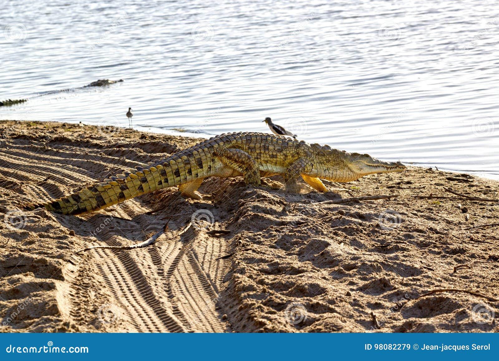 Nile Crocodile, réservation de jeu de Selous, Tanzanie