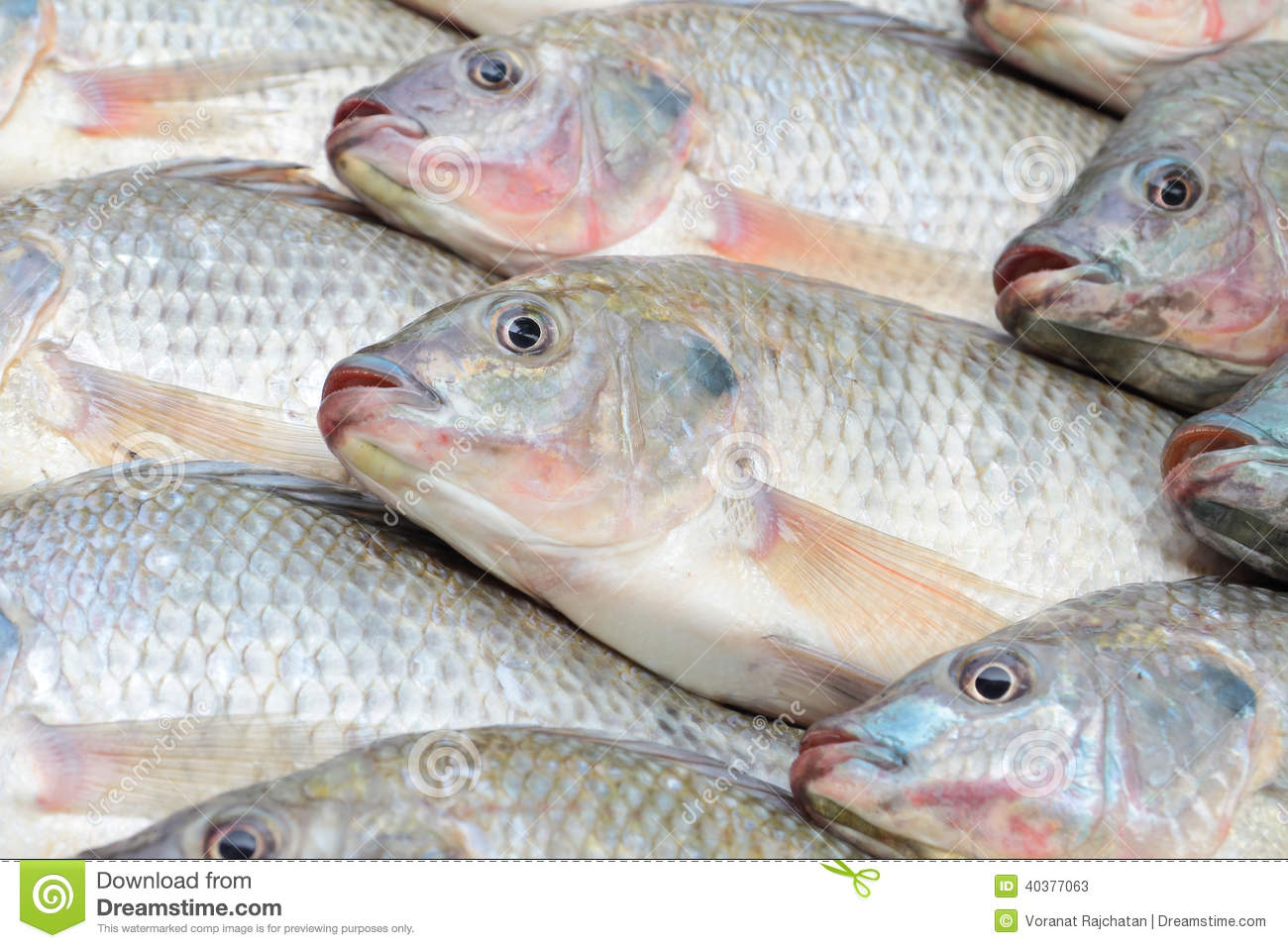 tilapia from the nile to the As it stands, prospective legislation seeking to control the use of nile tilapia will be counter-productive and hamper the growth of aquaculture in south africa.
