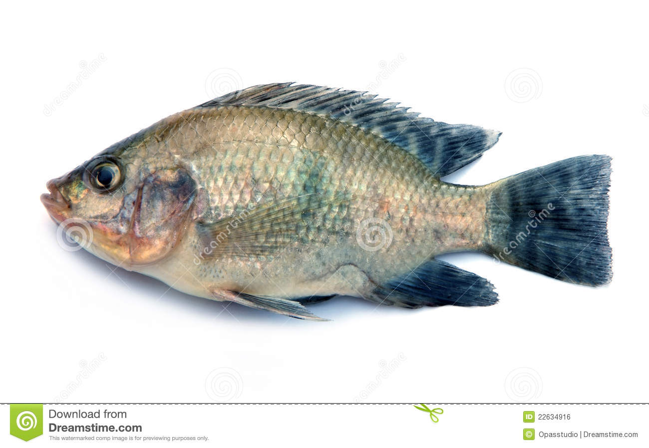 Nile tilapia fish on white background royalty free stock for Pictures of white fish