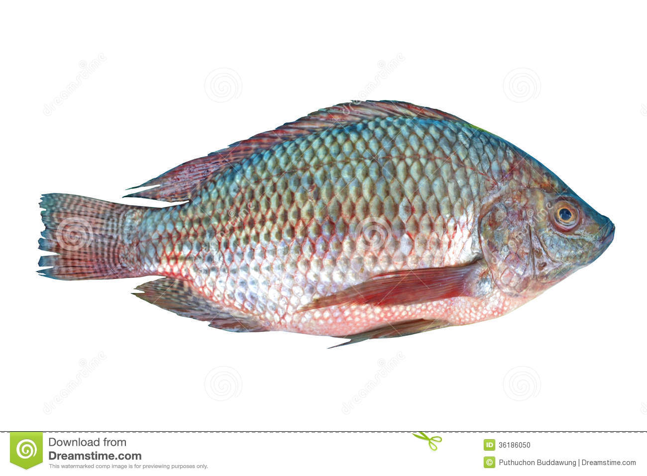 Nile tilapia fish stock photo image 36186050 for What is tilapia fish