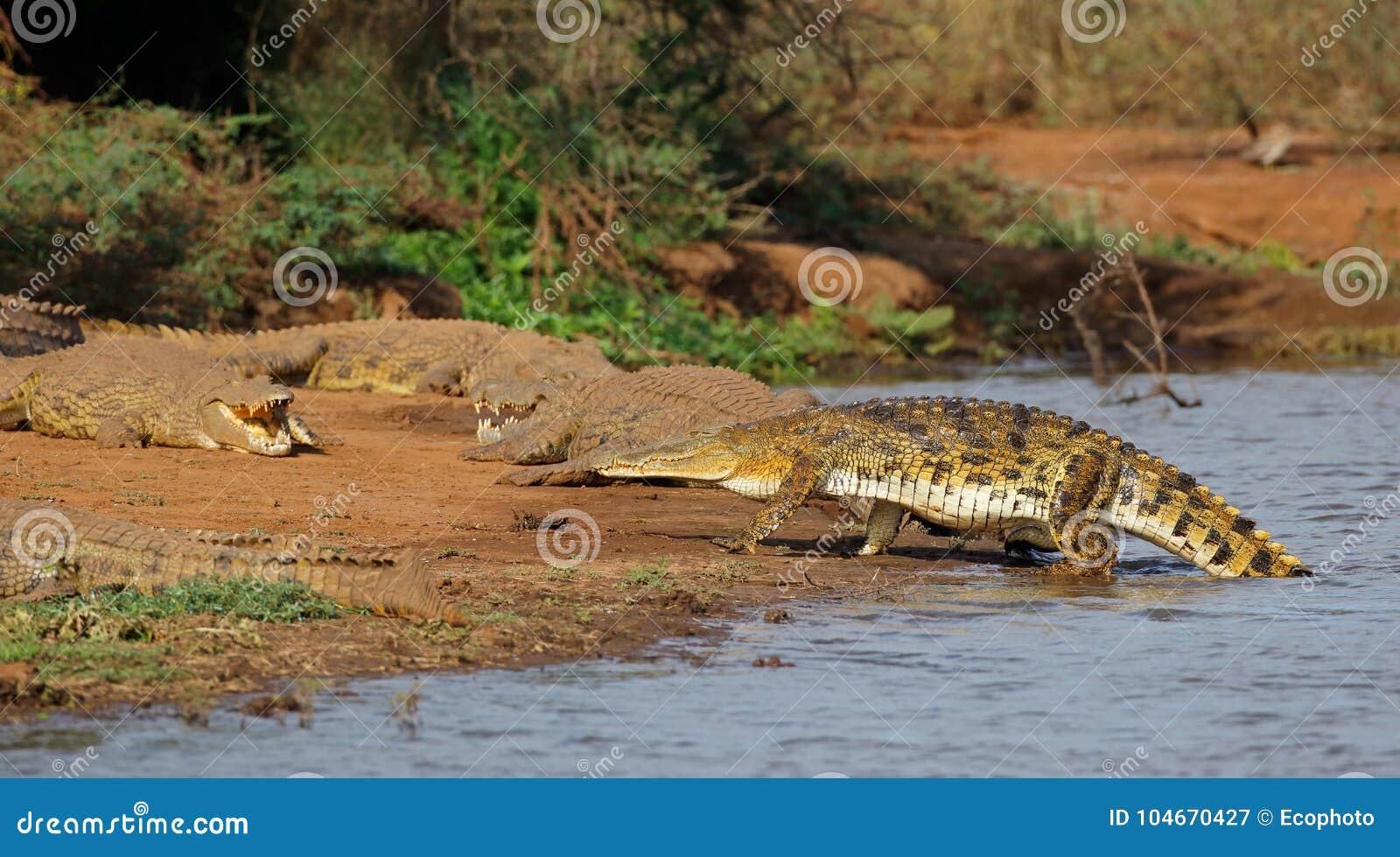 Nilenkrokodiler som värma sig - Kruger Natioal parkerar