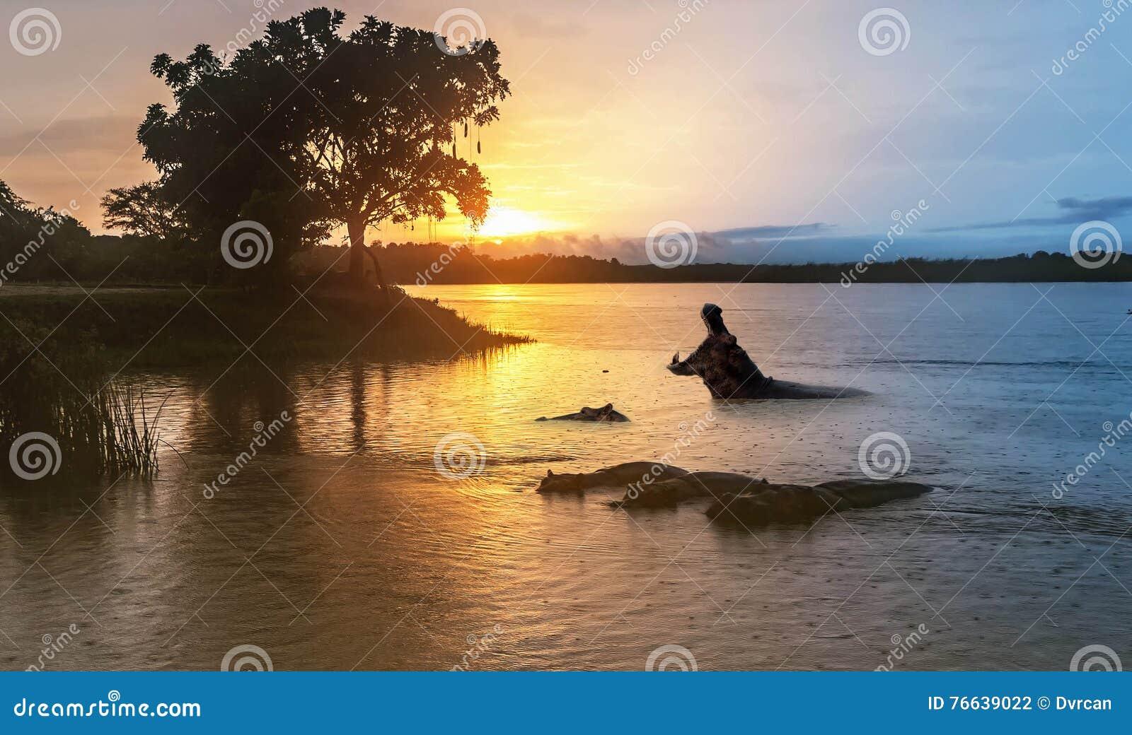 Nilpferd im Nil bei Sonnenaufgang am Murchison-Fall
