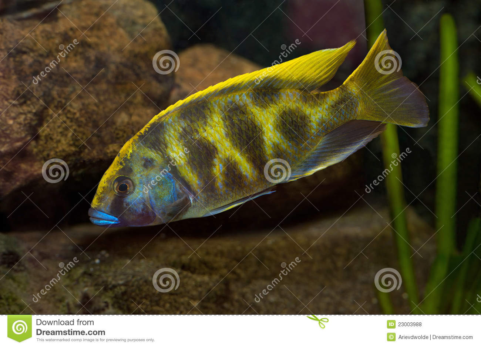 Nimbochromis Venustus In A Fishtank Royalty Free Stock Photos - Image ...