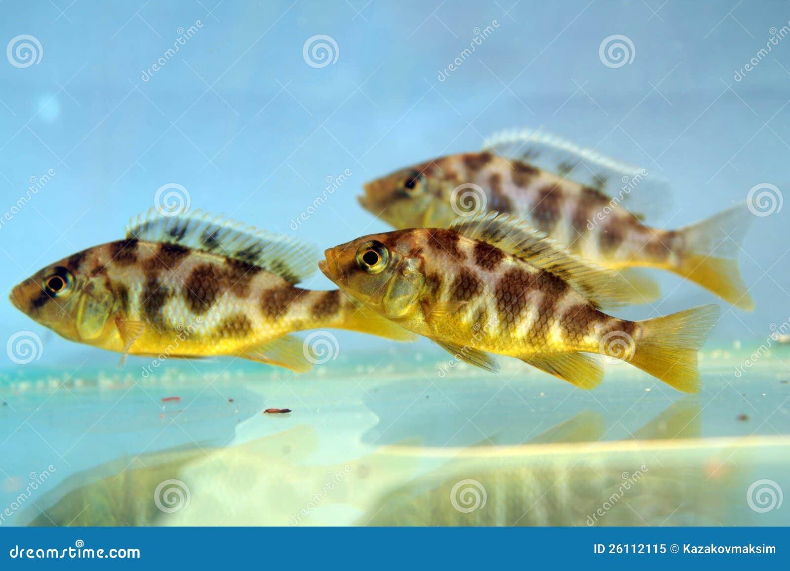 Venustus Hap : Nimbochromis Venustus (Venustus Hap) Royalty Free Stock Photo - Image ...