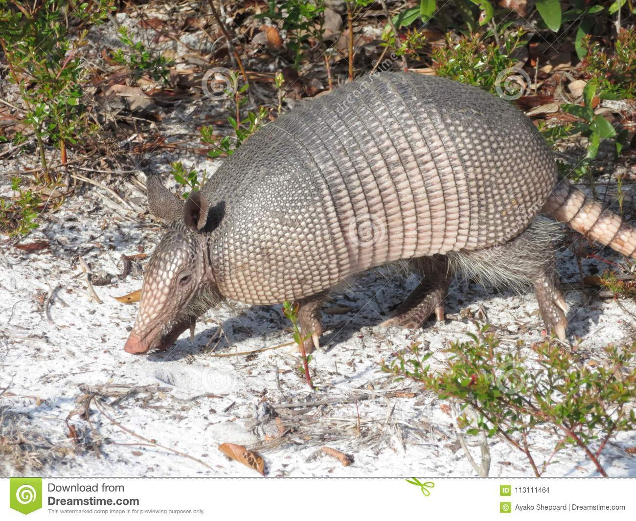 Nine-Banded Armadillo in Cedar Key, Florida