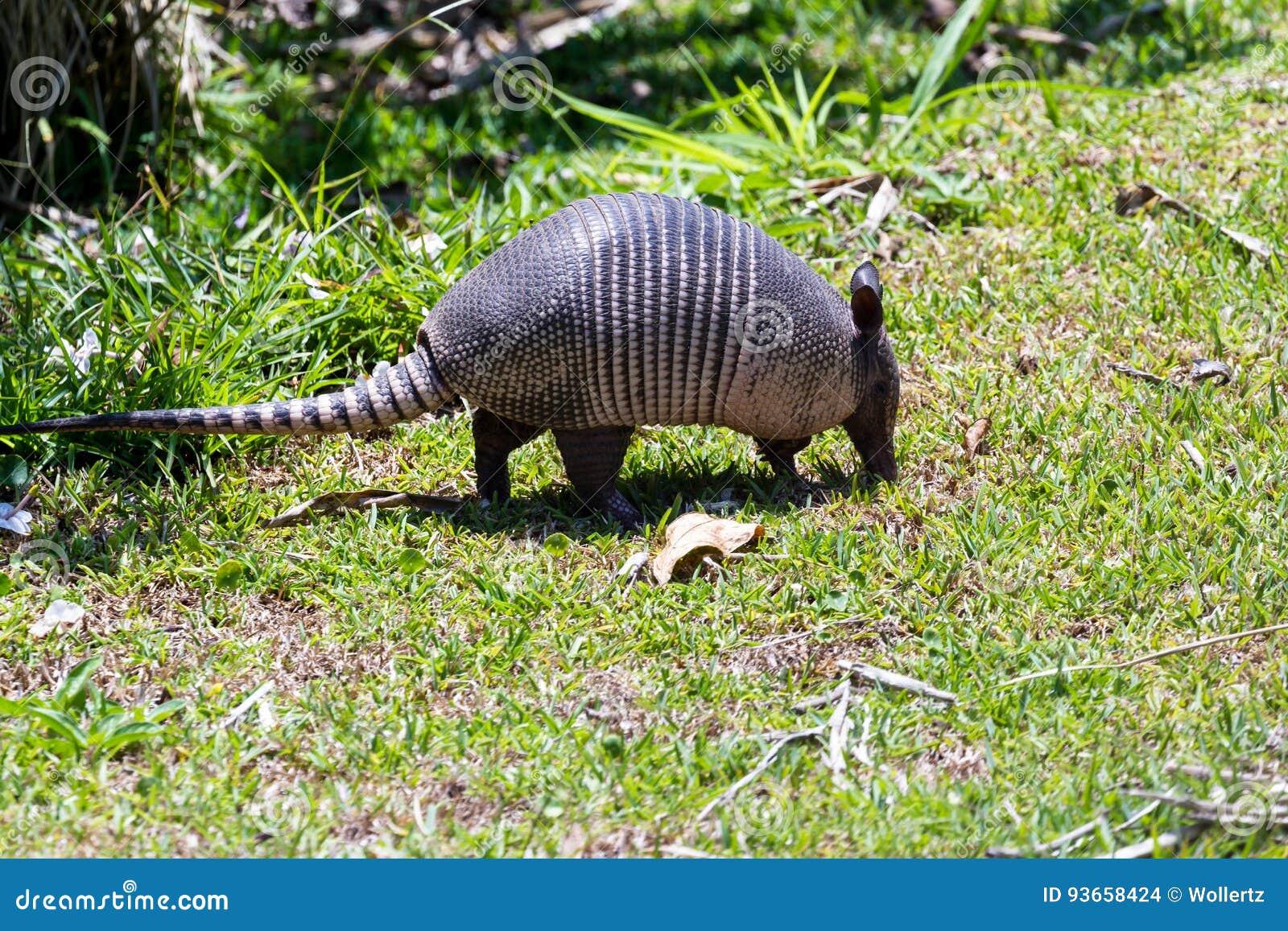 Nine-banded armadillo- Dasypus novemcinctus
