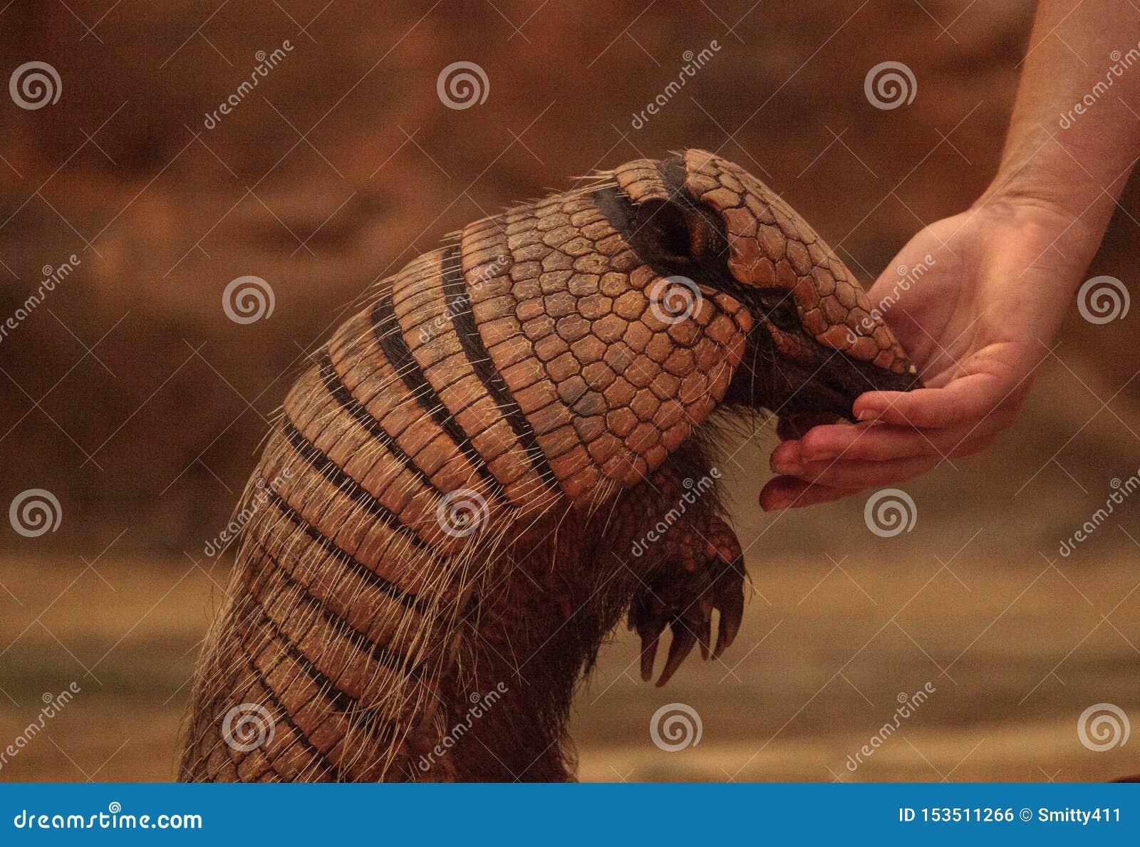 Nine-banded armadillo, Dasypus novemcinctus