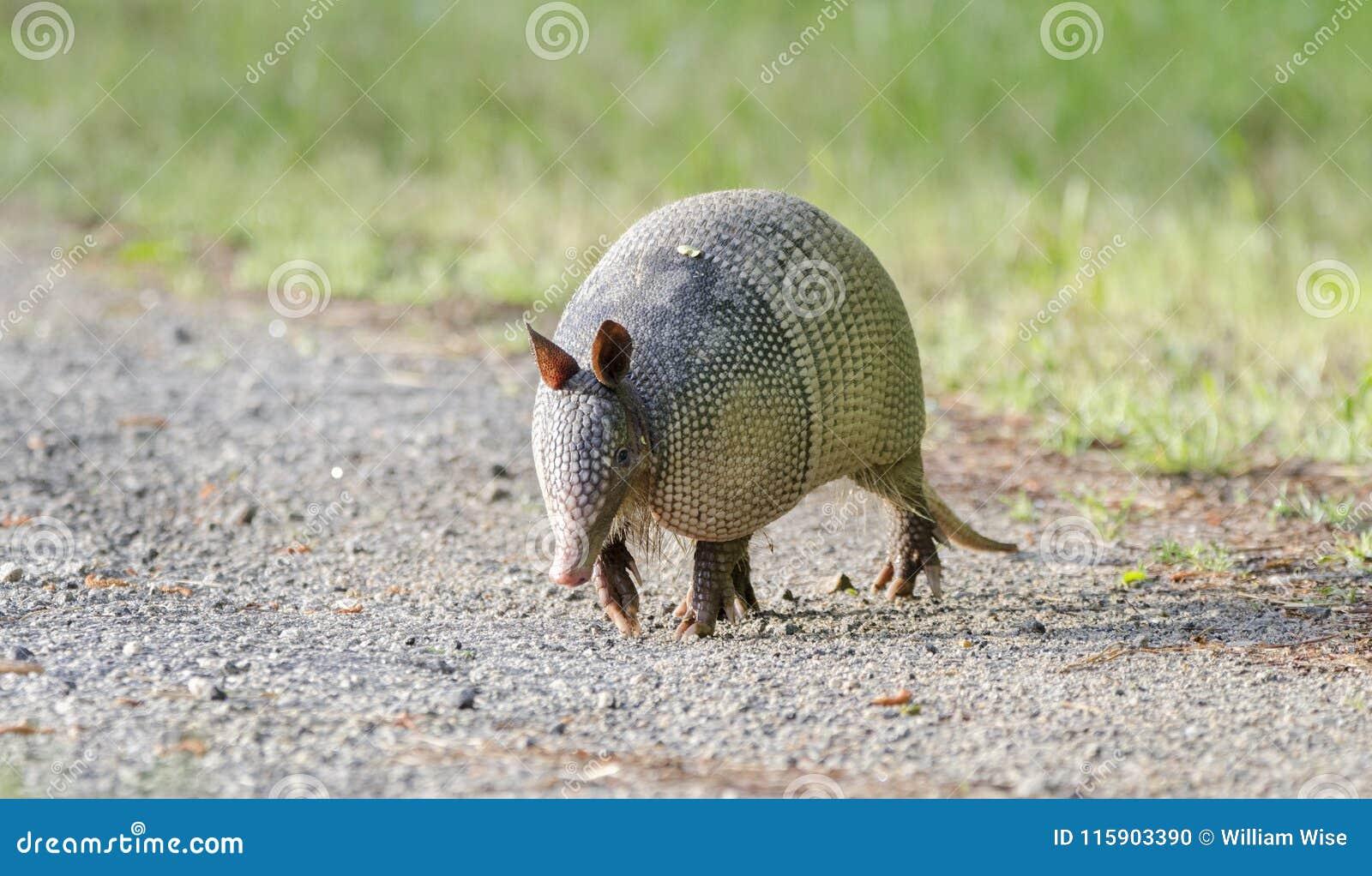 Nine banded armadillo on gravel road, Dasypus novemcinctus, Monroe GA USA