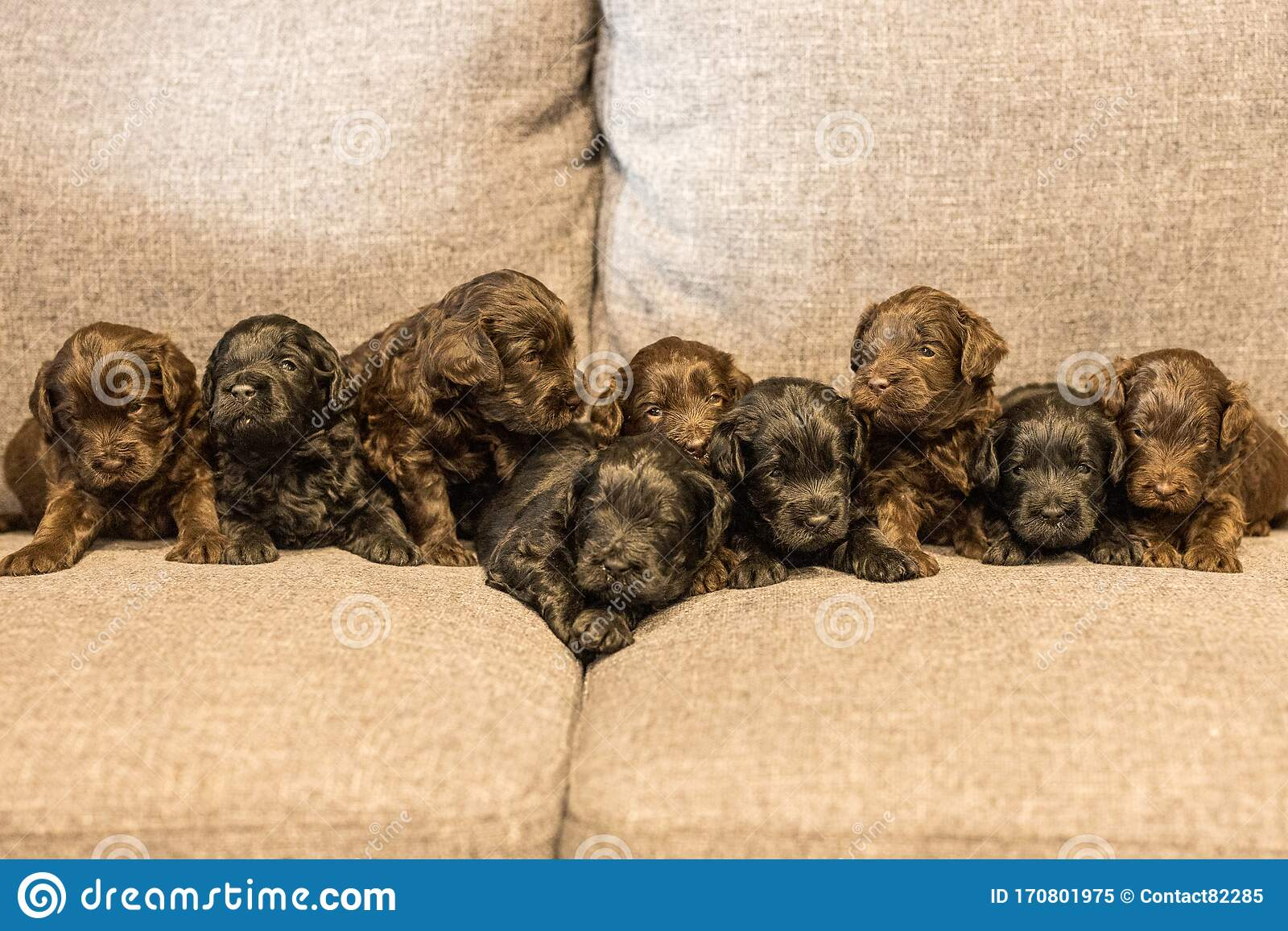 Nine Brand New Little Groodle Puppies Sometimes Called Godlendoodles Stock Image Image Of Doggy Australia 170801975