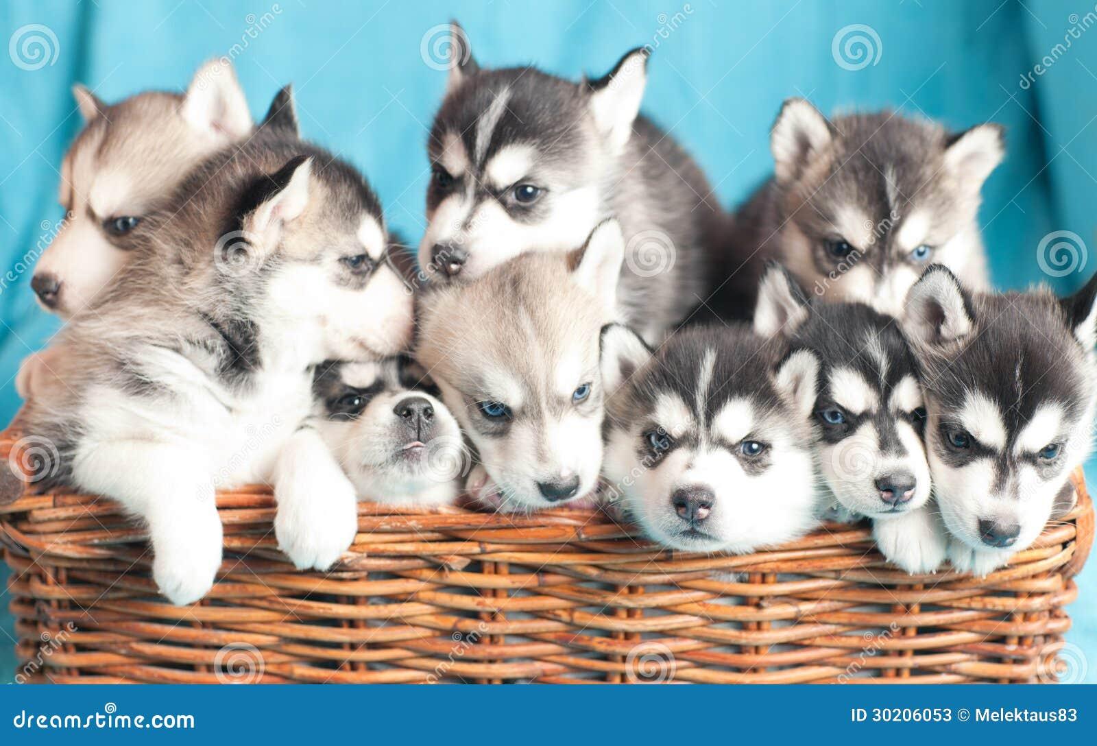 Nine husky puppies