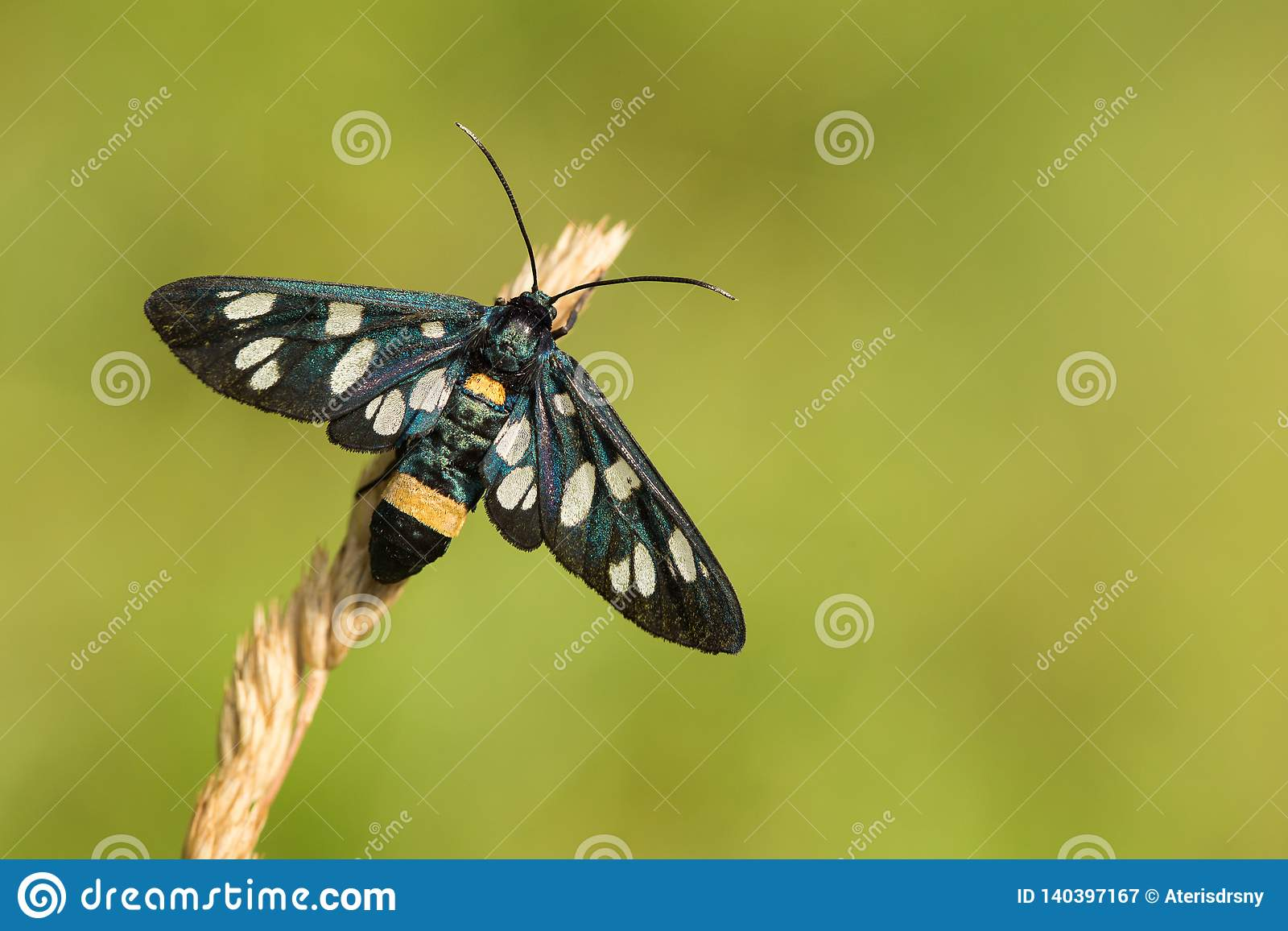 Nine-spotted moth or yellow belted burnet, Amata phegea, formerly Syntomis phegea, in Czech Republic