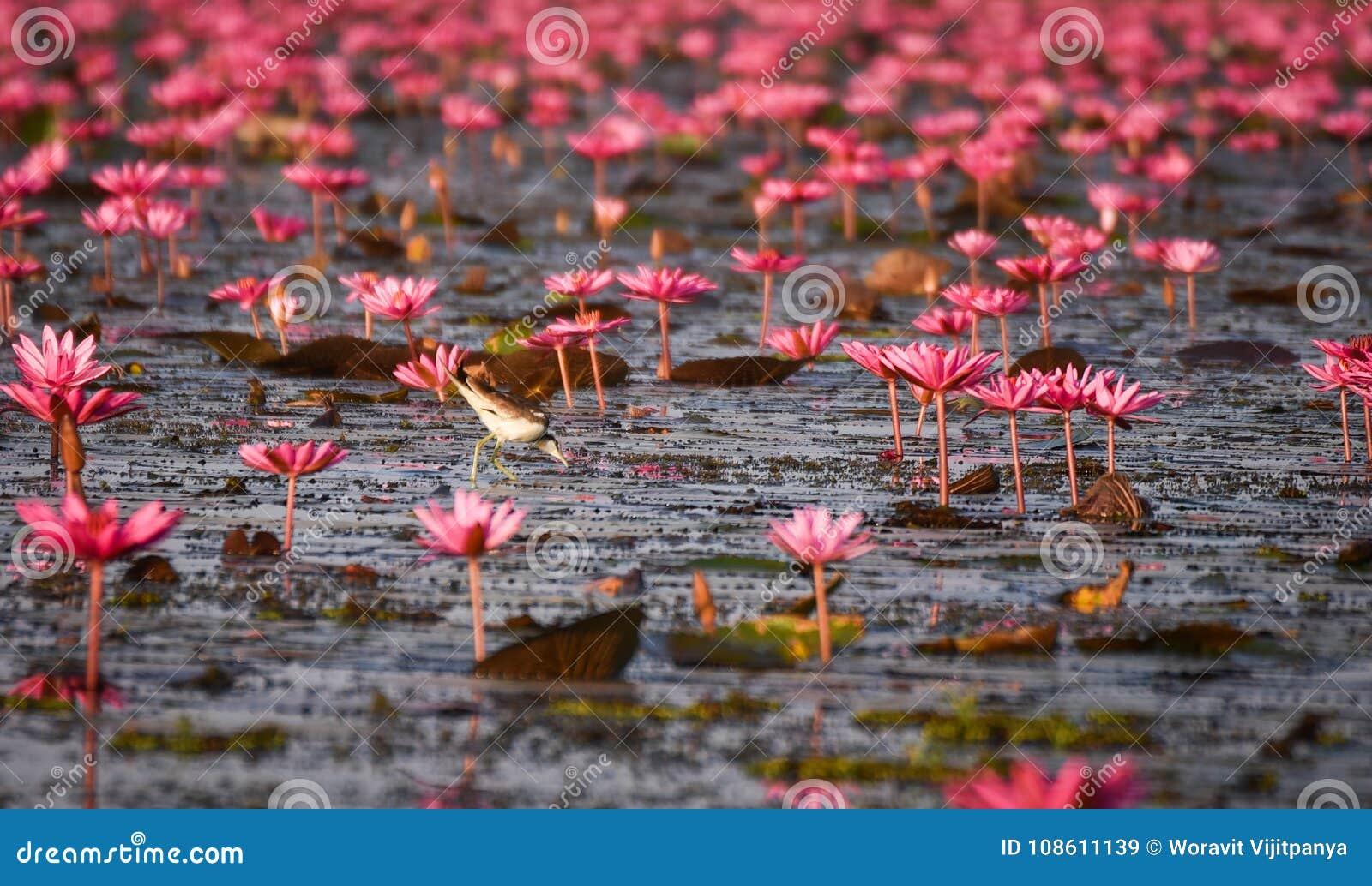 Ninfea di rosso dell uccello acquatico