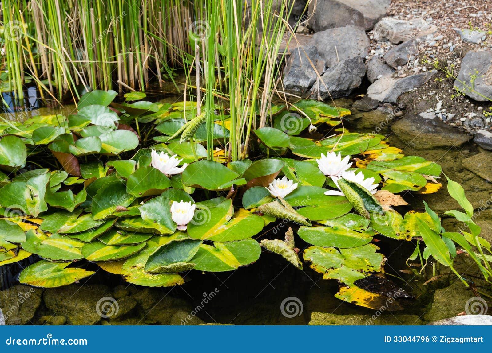 Ninfee bianche che fioriscono in un giardino dell 39 acqua - Giardino delle ninfee ...