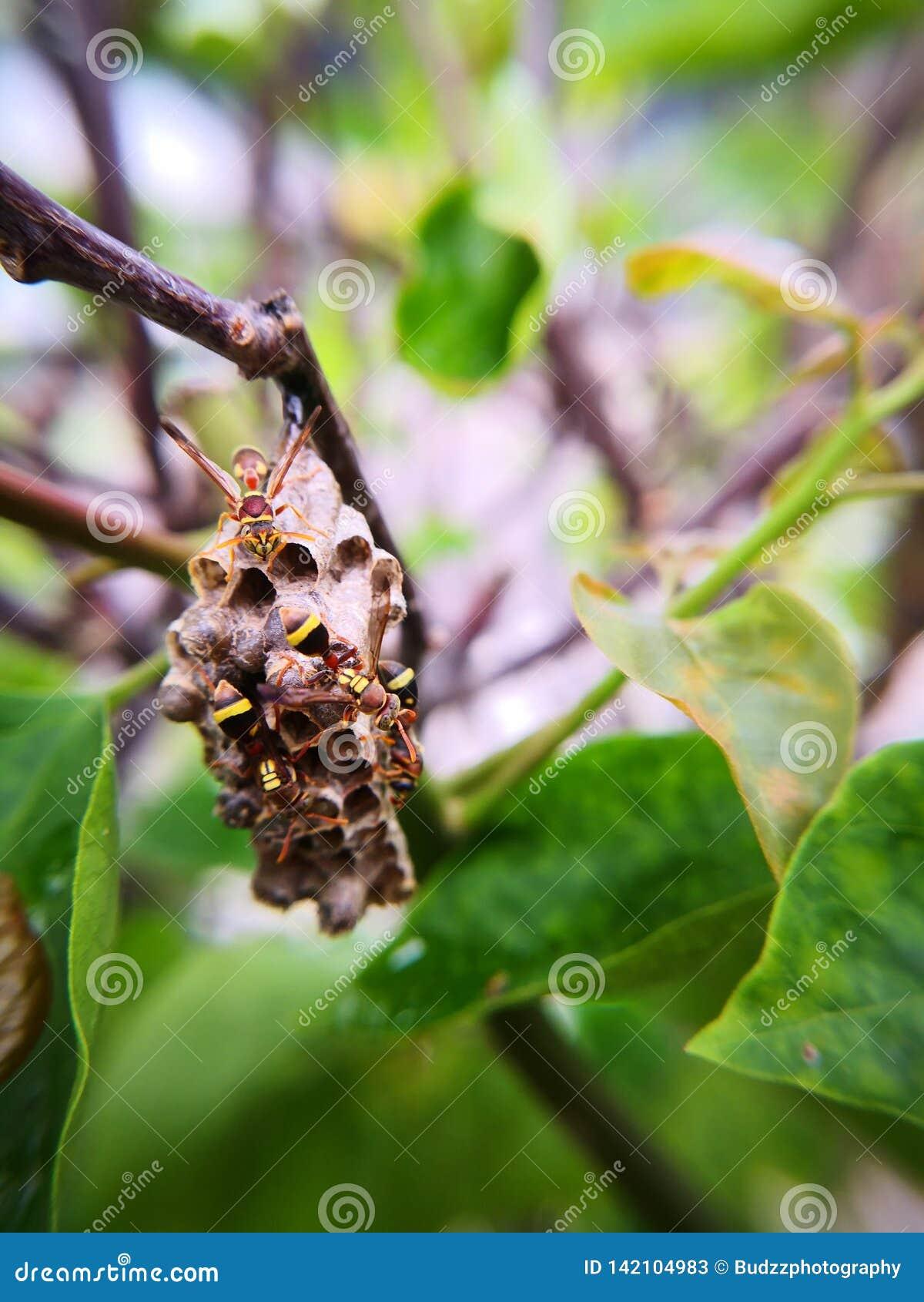 Ninho da vespa 4 vespas do guardião que protegem seus ninho e ovos Fotografia macro