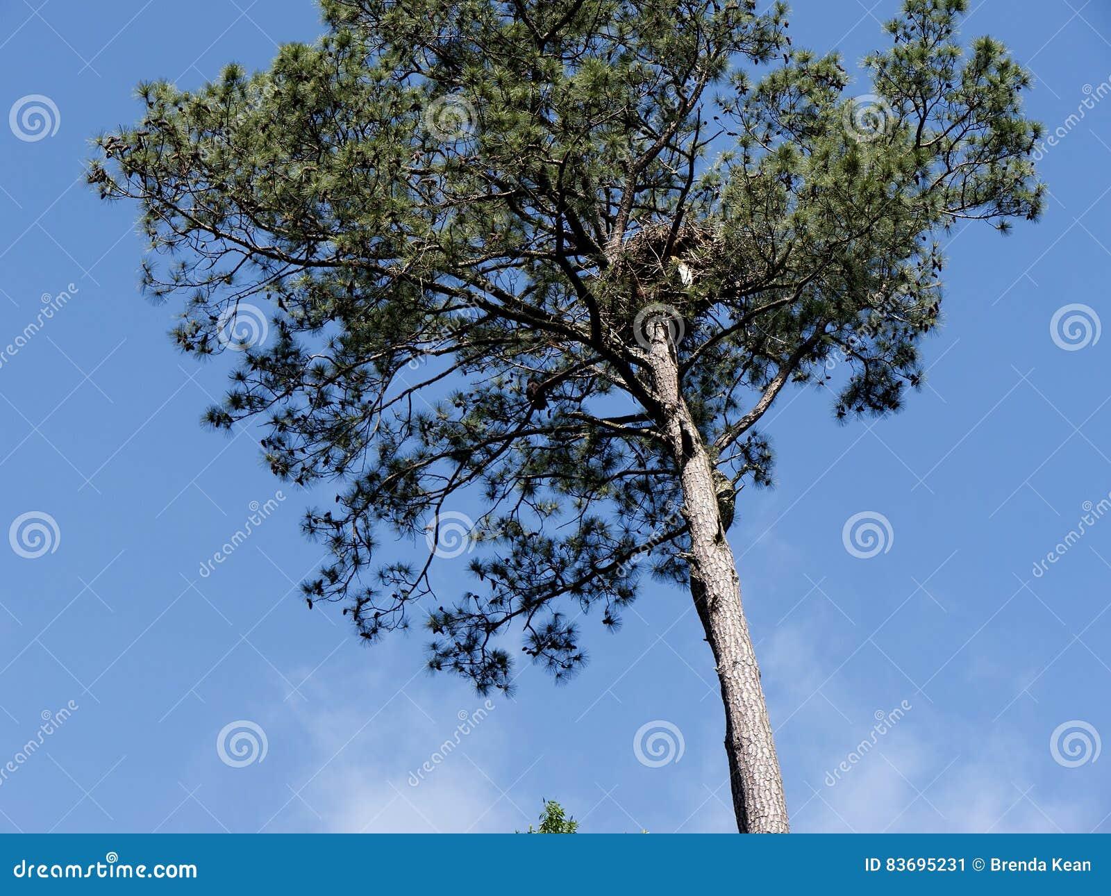 Ninho de Eagles no pinheiro em Virgínia EUA