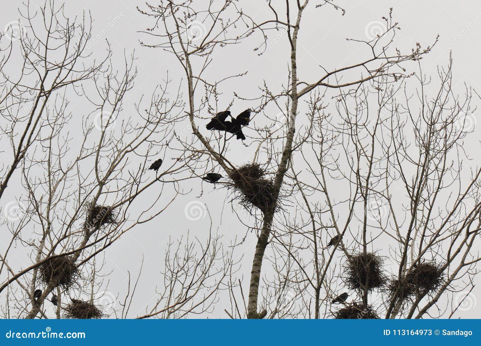 Ninho e corvos no ramo da parte superior da árvore