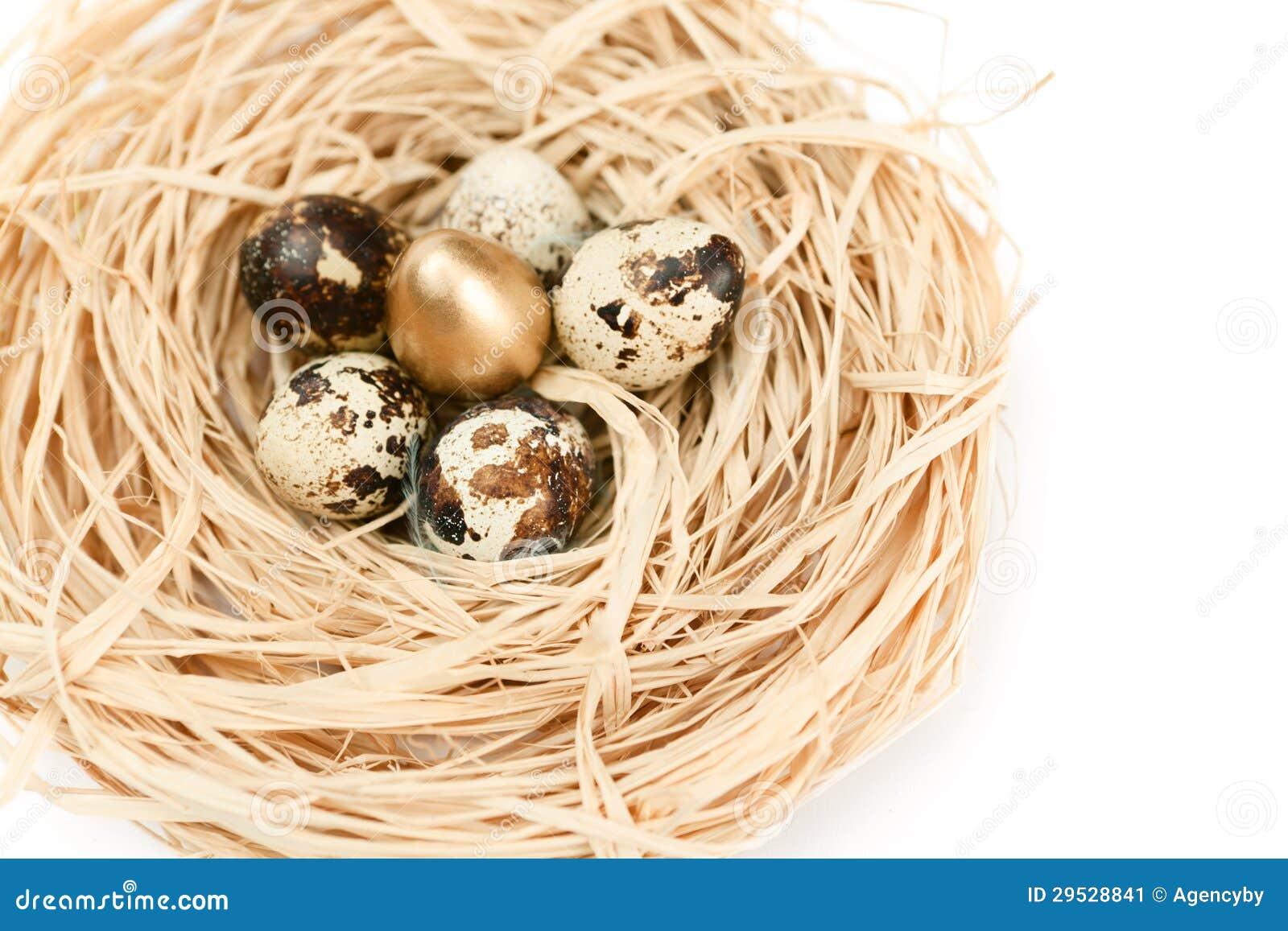 Ninho miraculoso com os ovos de codorniz dourados e naturais
