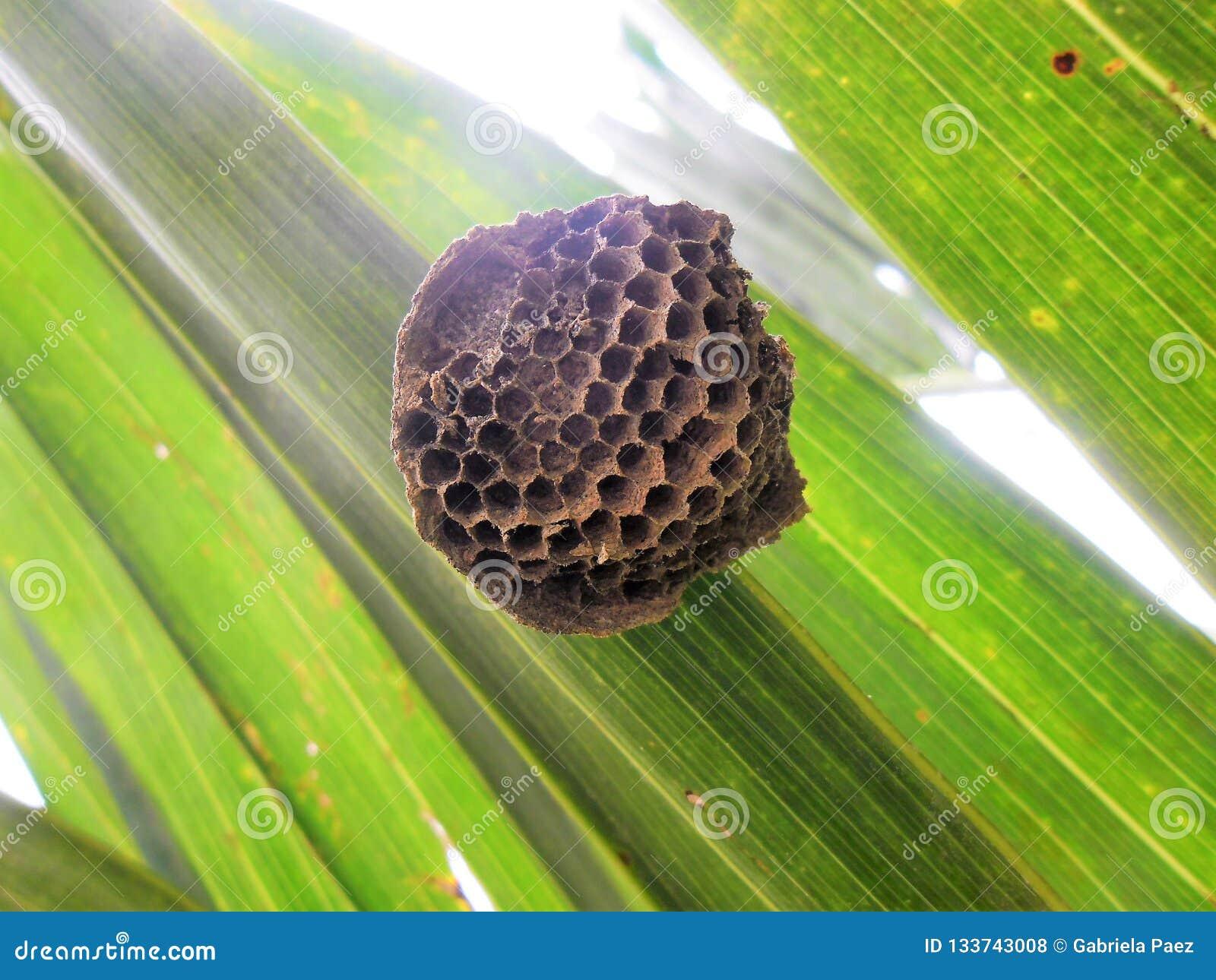 Ninho vazio da vespa